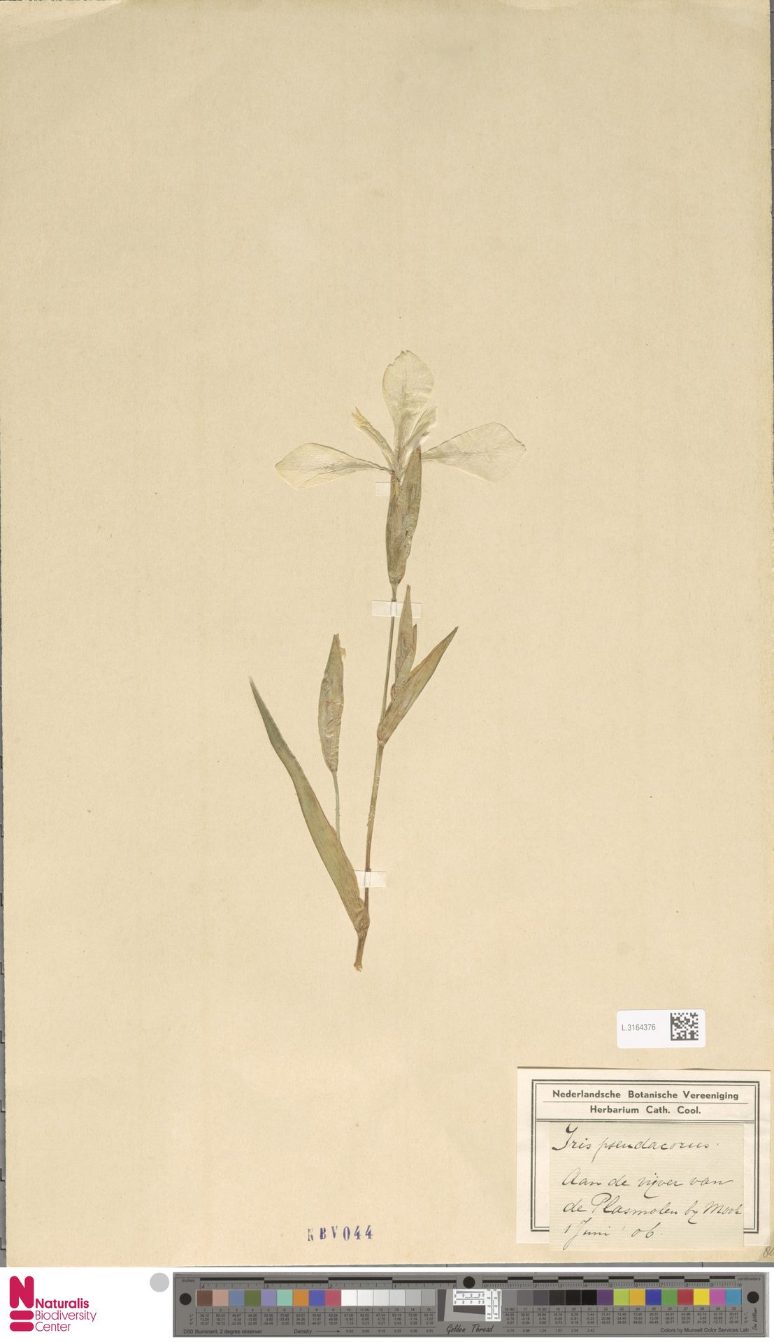 L.3164376 | Iris pseudacorus L.