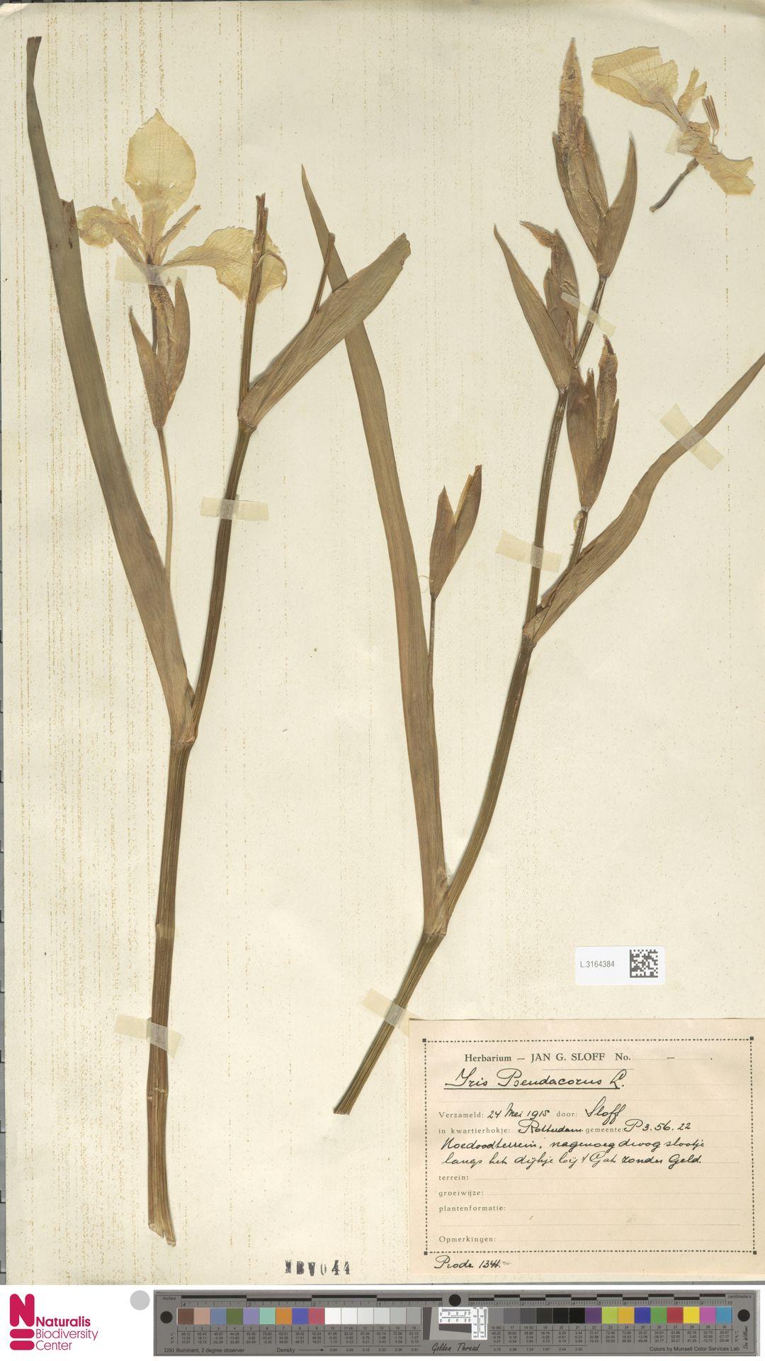 L.3164384 | Iris pseudacorus L.