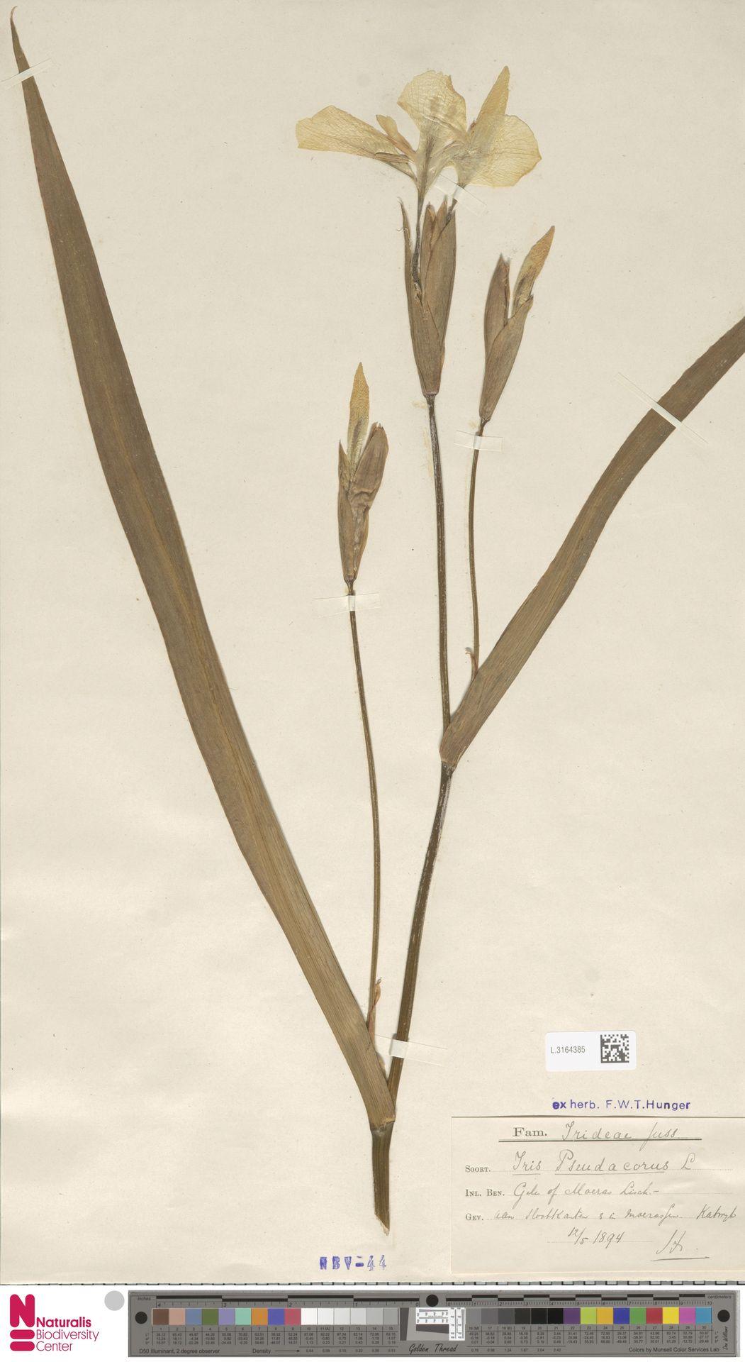 L.3164385 | Iris pseudacorus L.