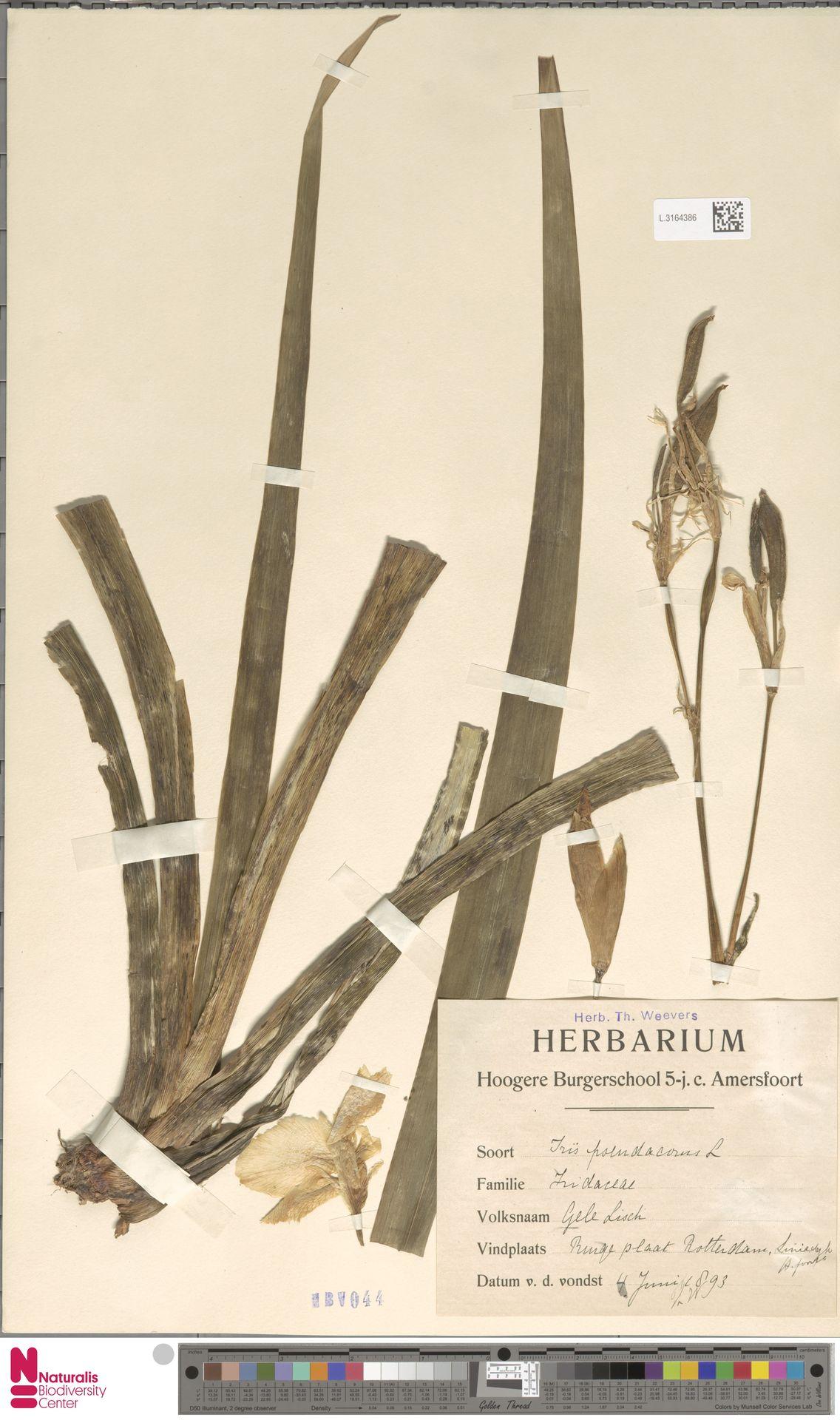 L.3164386 | Iris pseudacorus L.