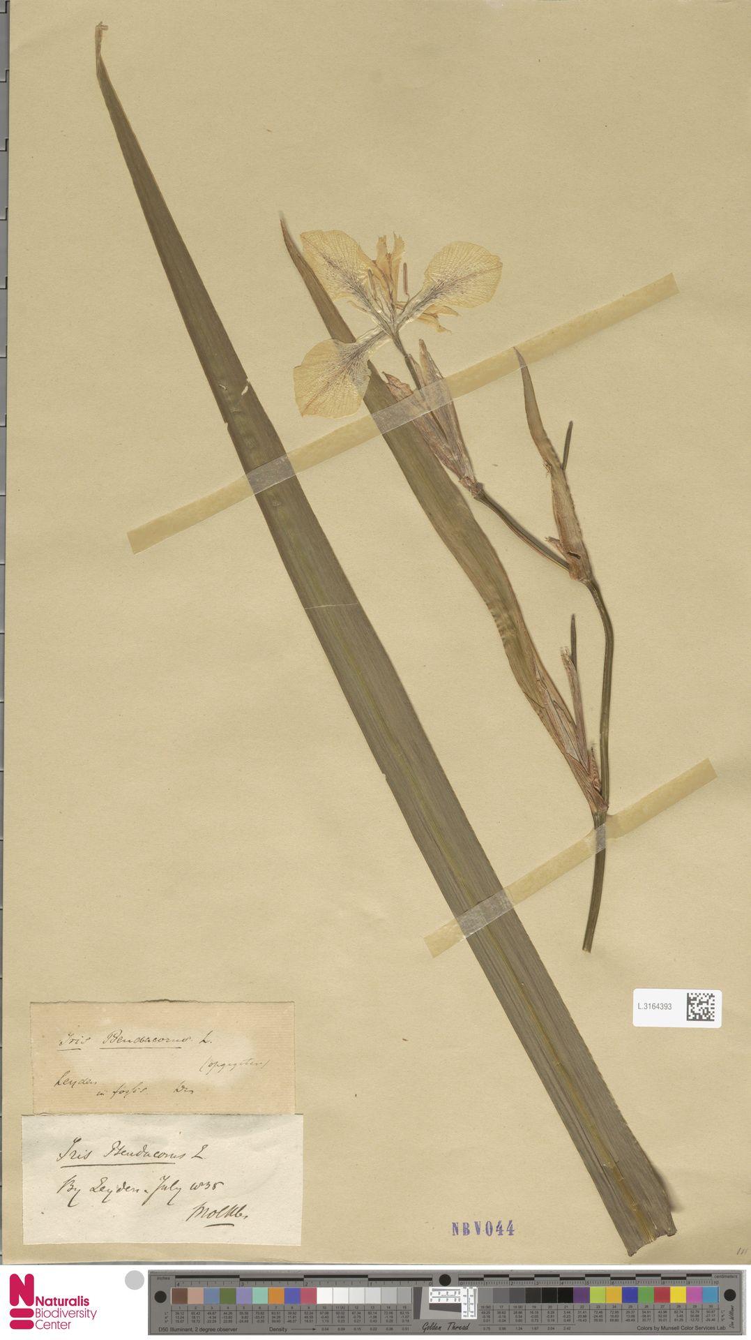 L.3164393 | Iris pseudacorus L.
