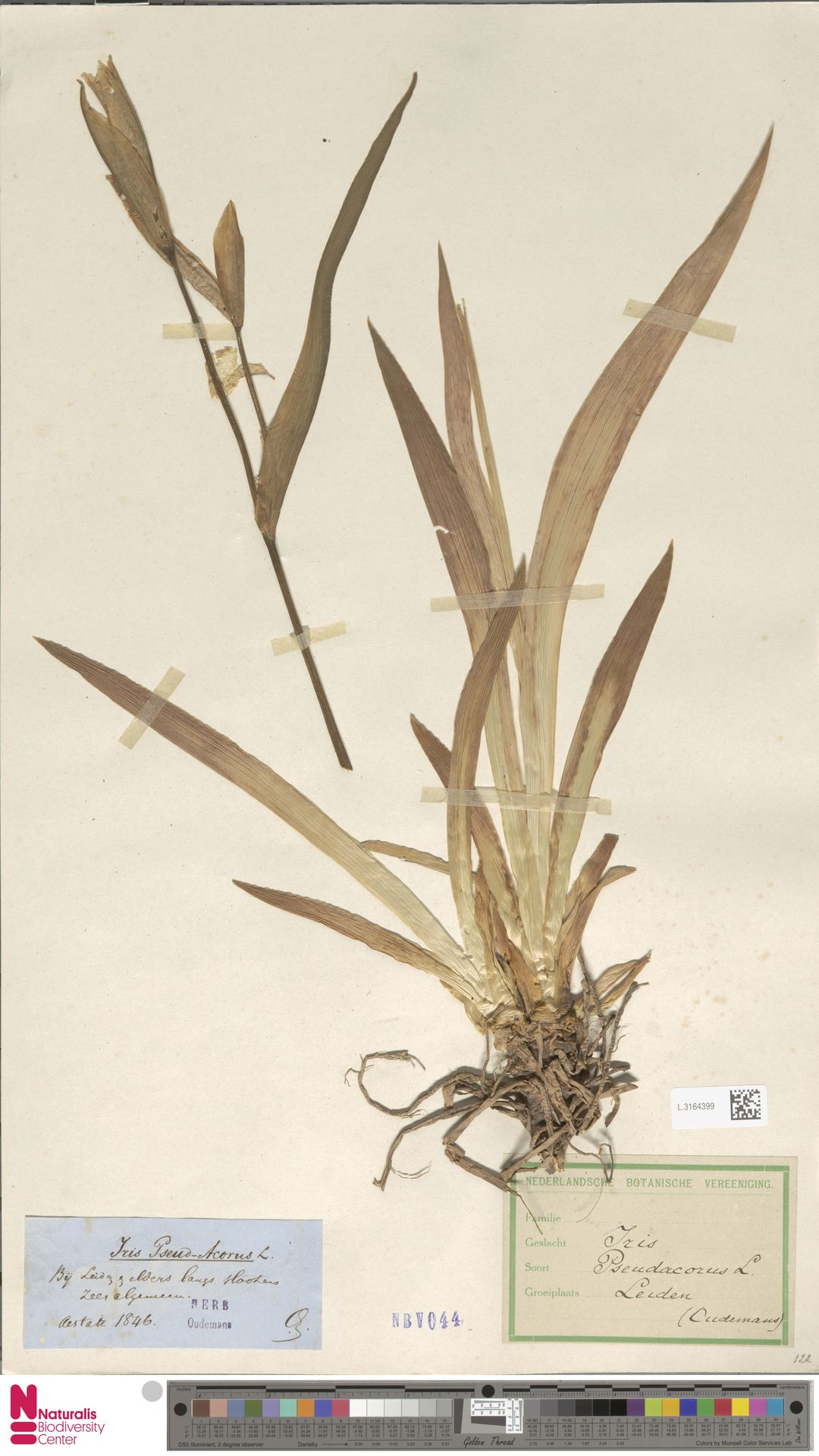 L.3164399 | Iris pseudacorus L.
