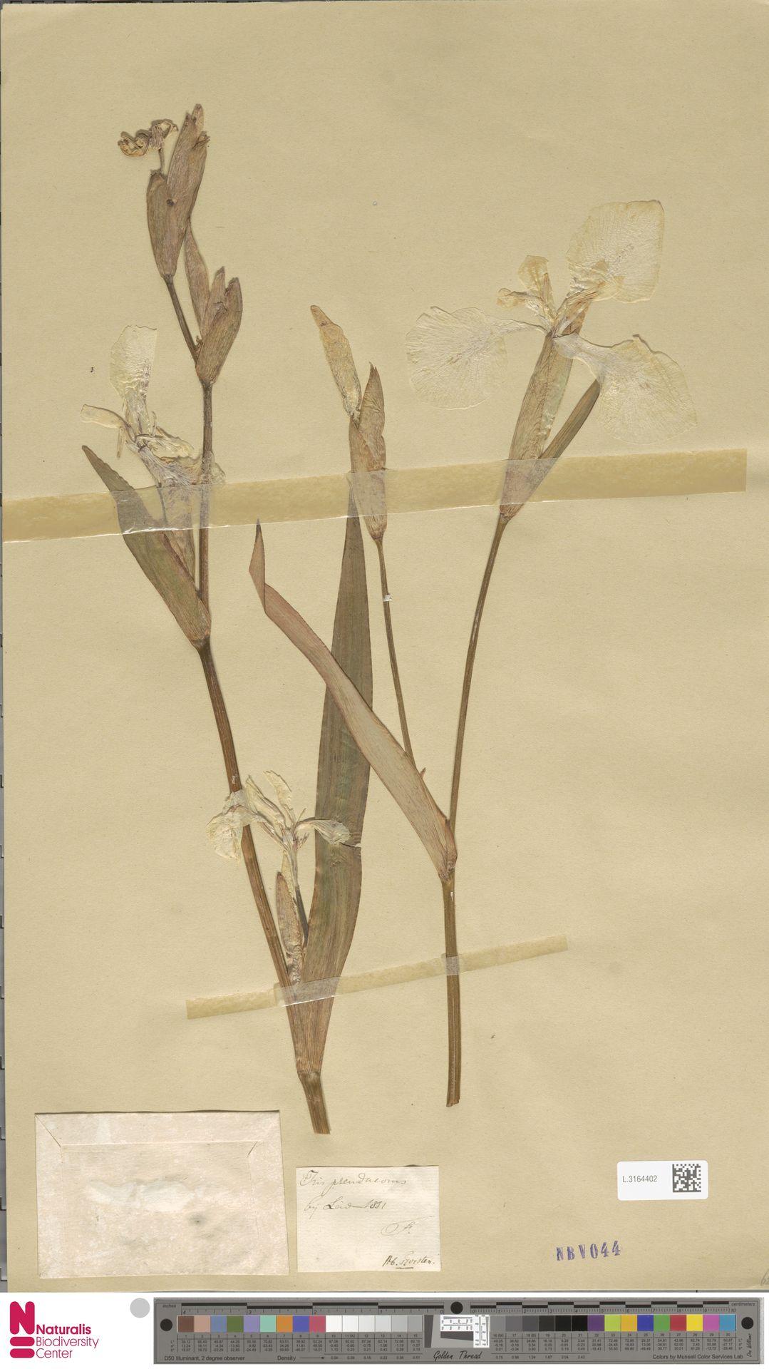 L.3164402 | Iris pseudacorus L.