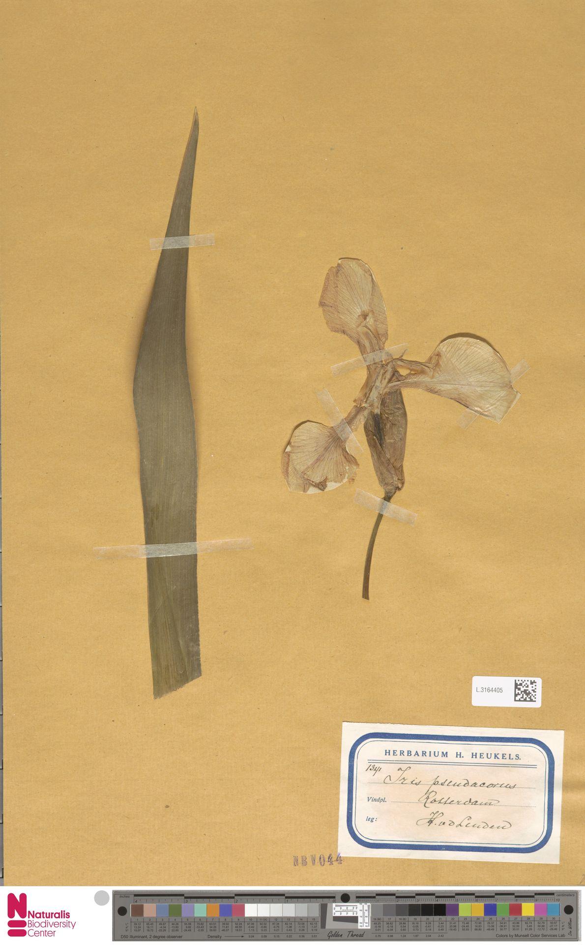 L.3164405 | Iris pseudacorus L.