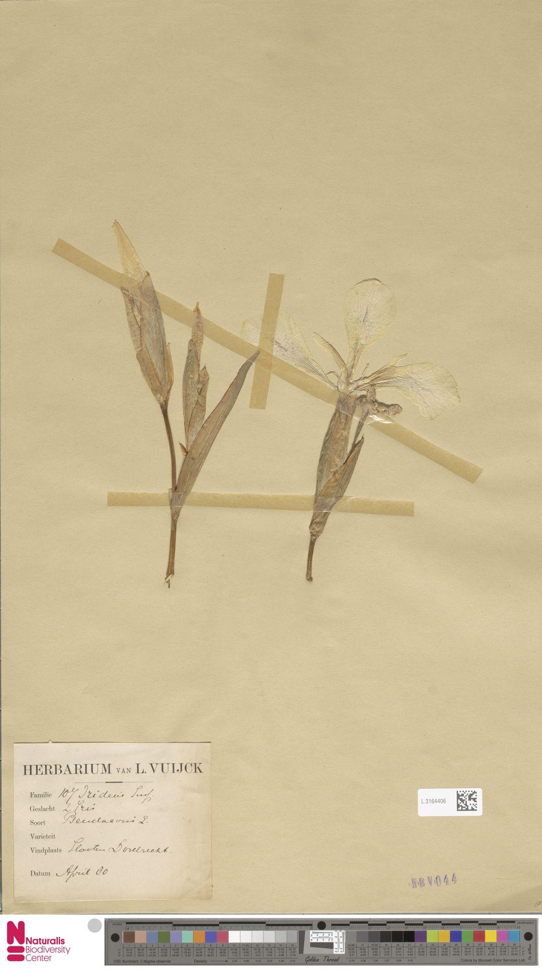 L.3164406 | Iris pseudacorus L.