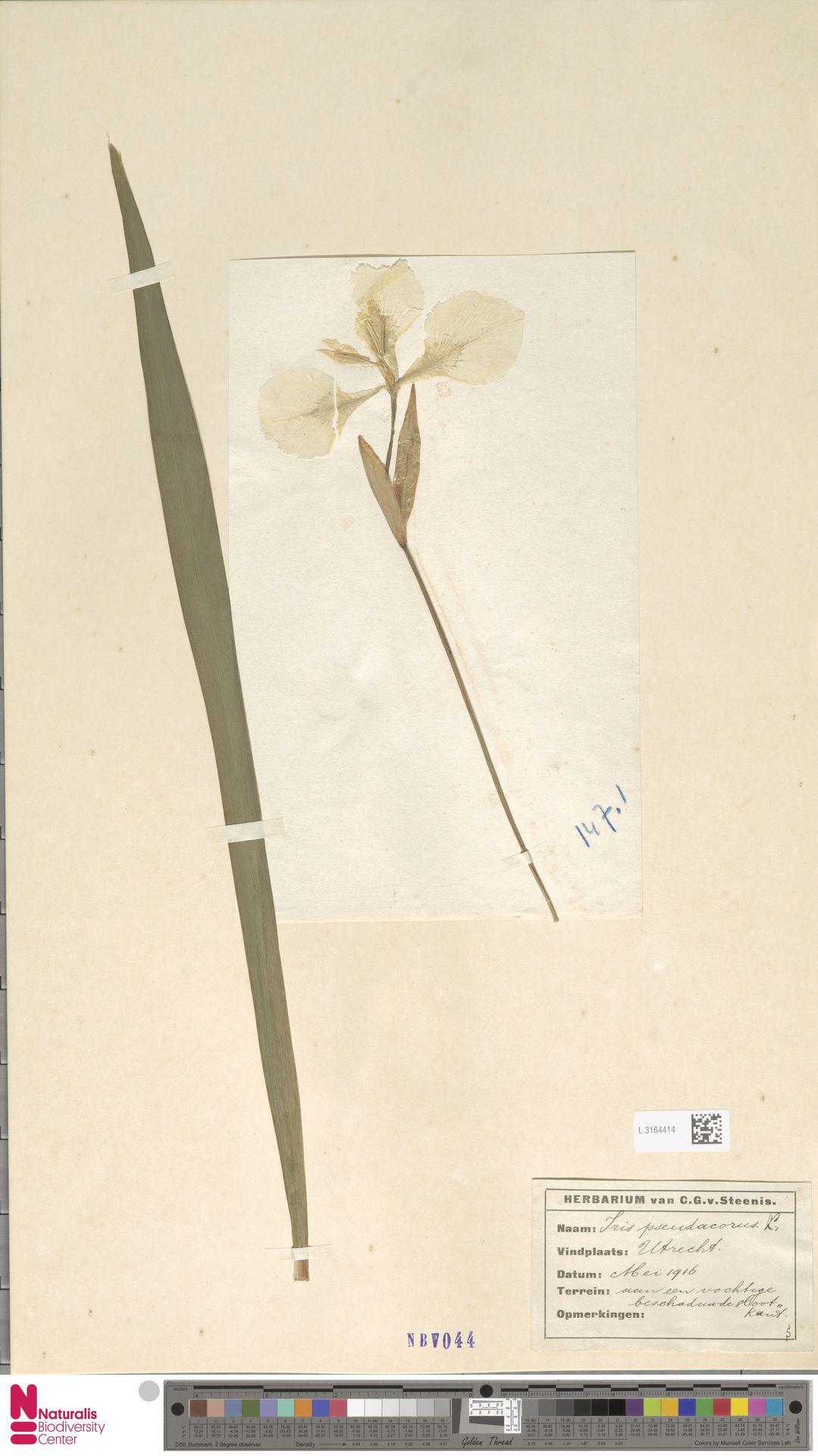 L.3164414 | Iris pseudacorus L.