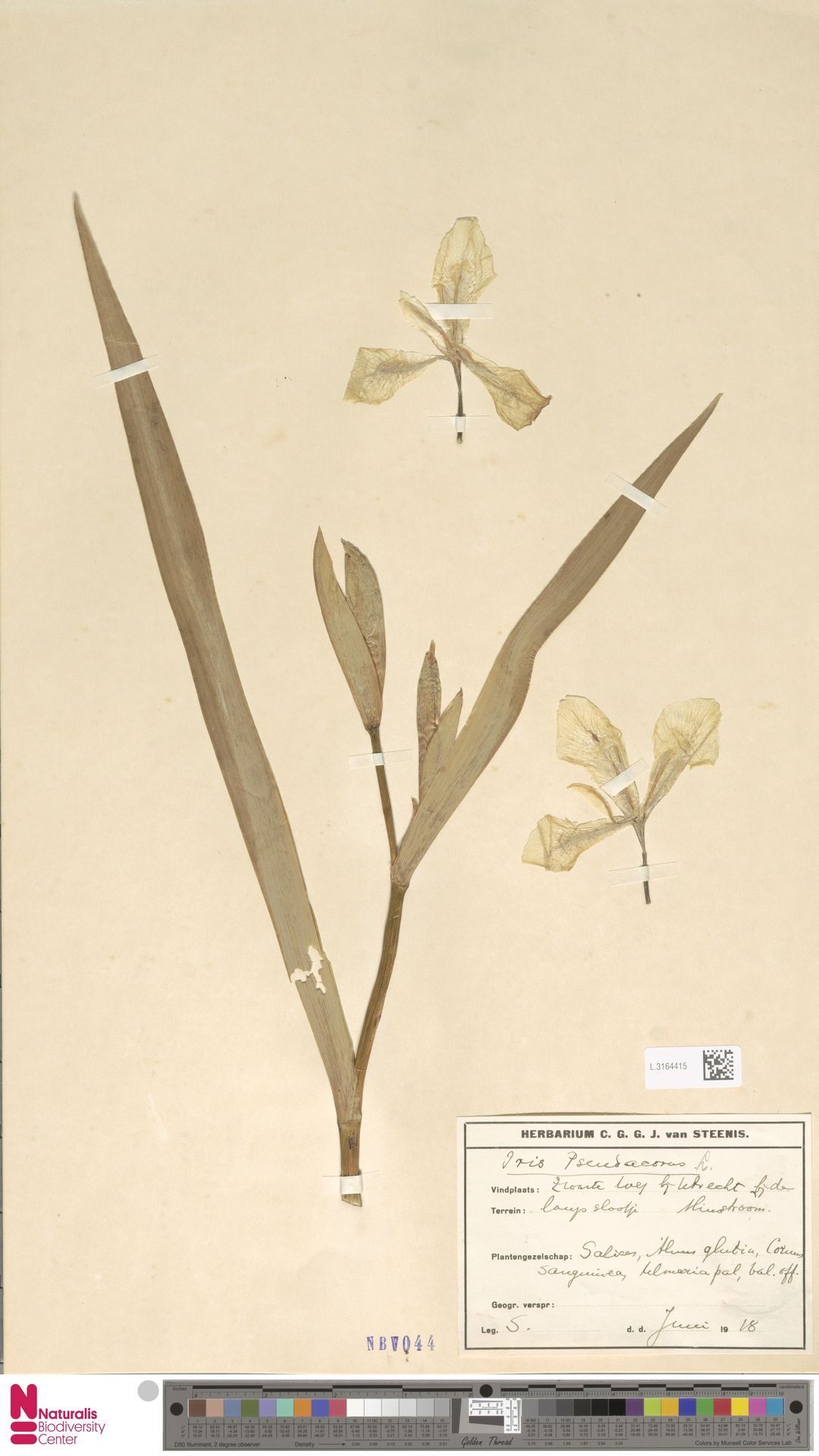 L.3164415 | Iris pseudacorus L.