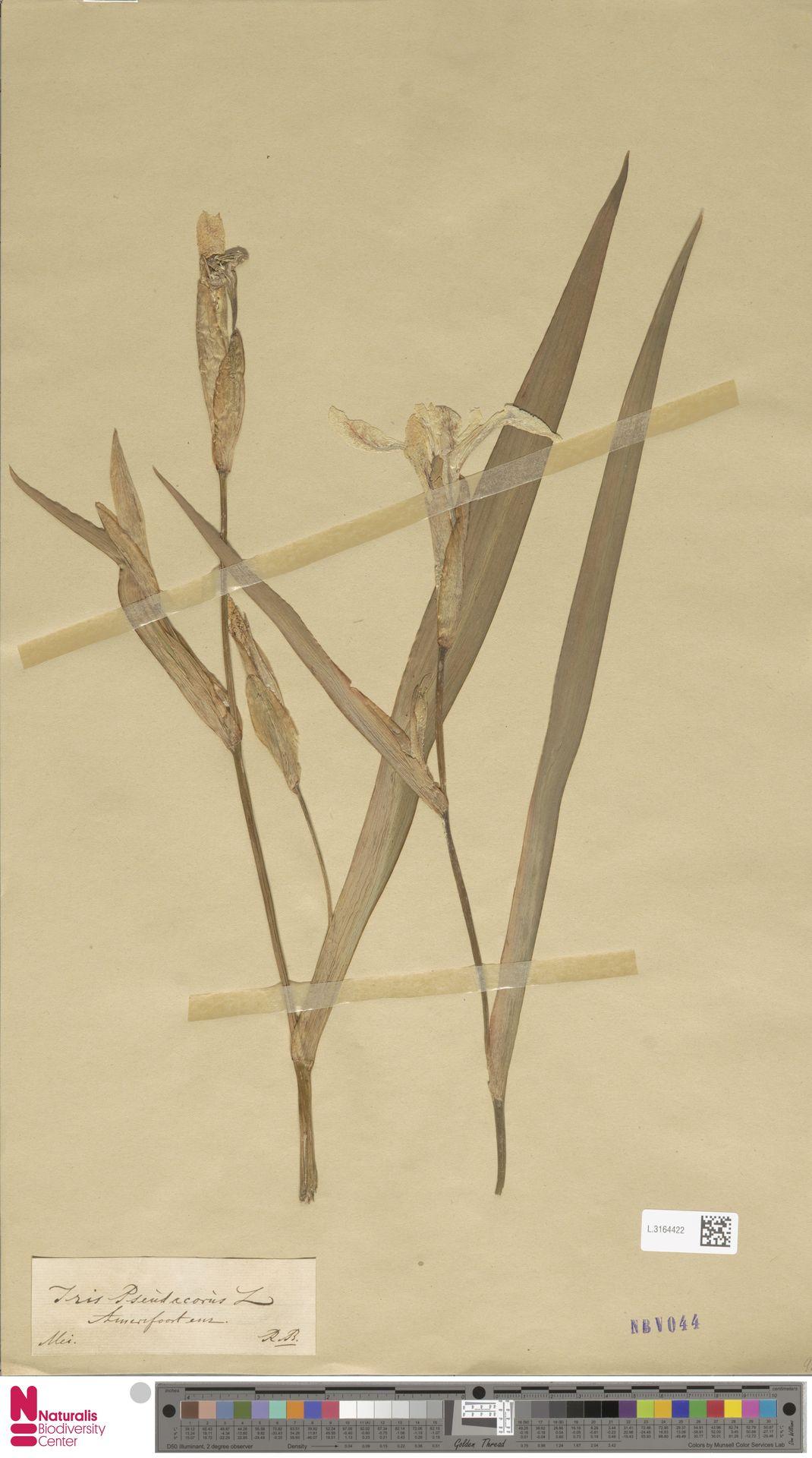L.3164422 | Iris pseudacorus L.
