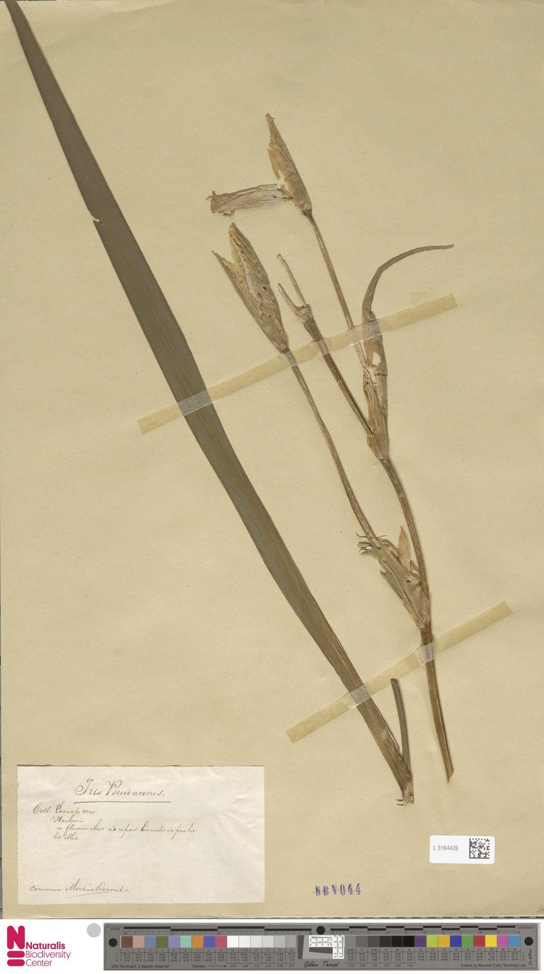 L.3164426 | Iris pseudacorus L.