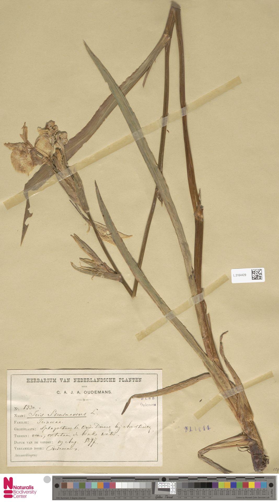 L.3164429 | Iris pseudacorus L.