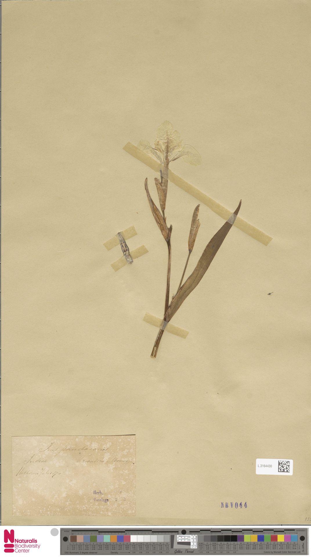 L.3164430 | Iris pseudacorus L.
