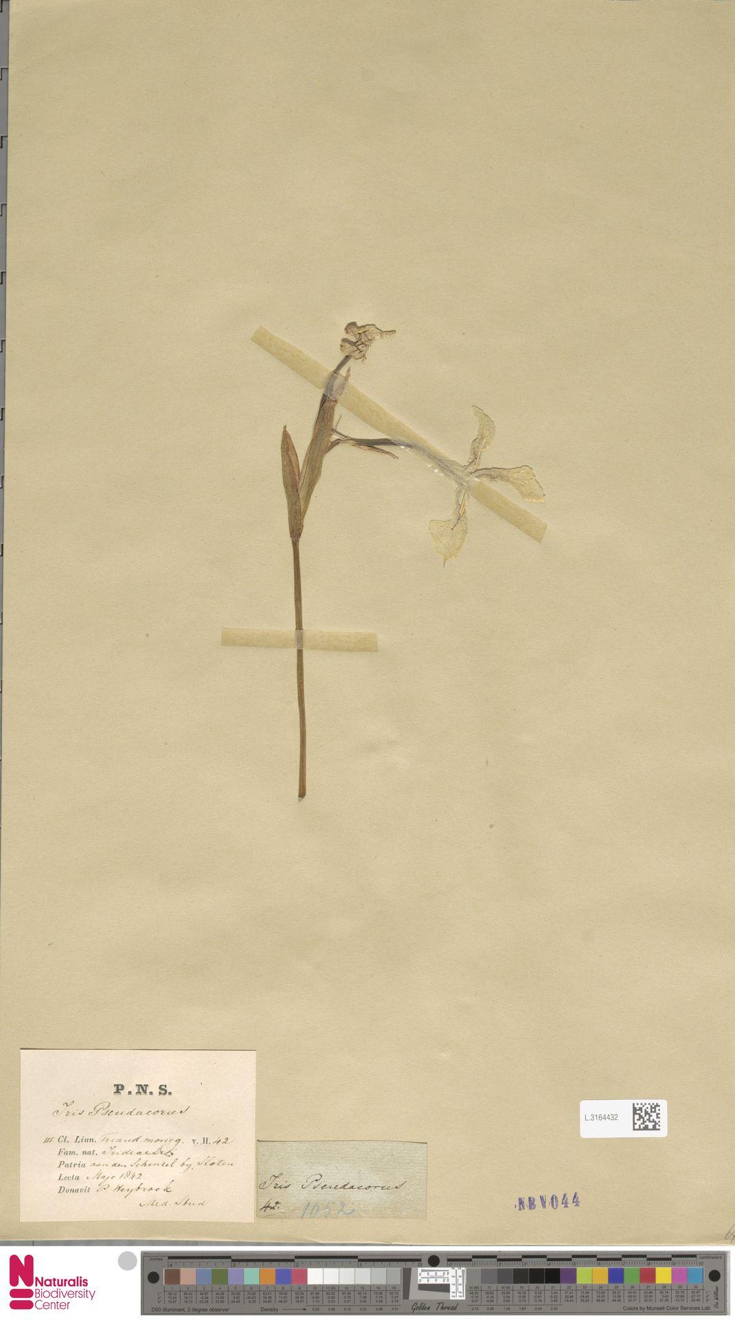 L.3164432 | Iris pseudacorus L.