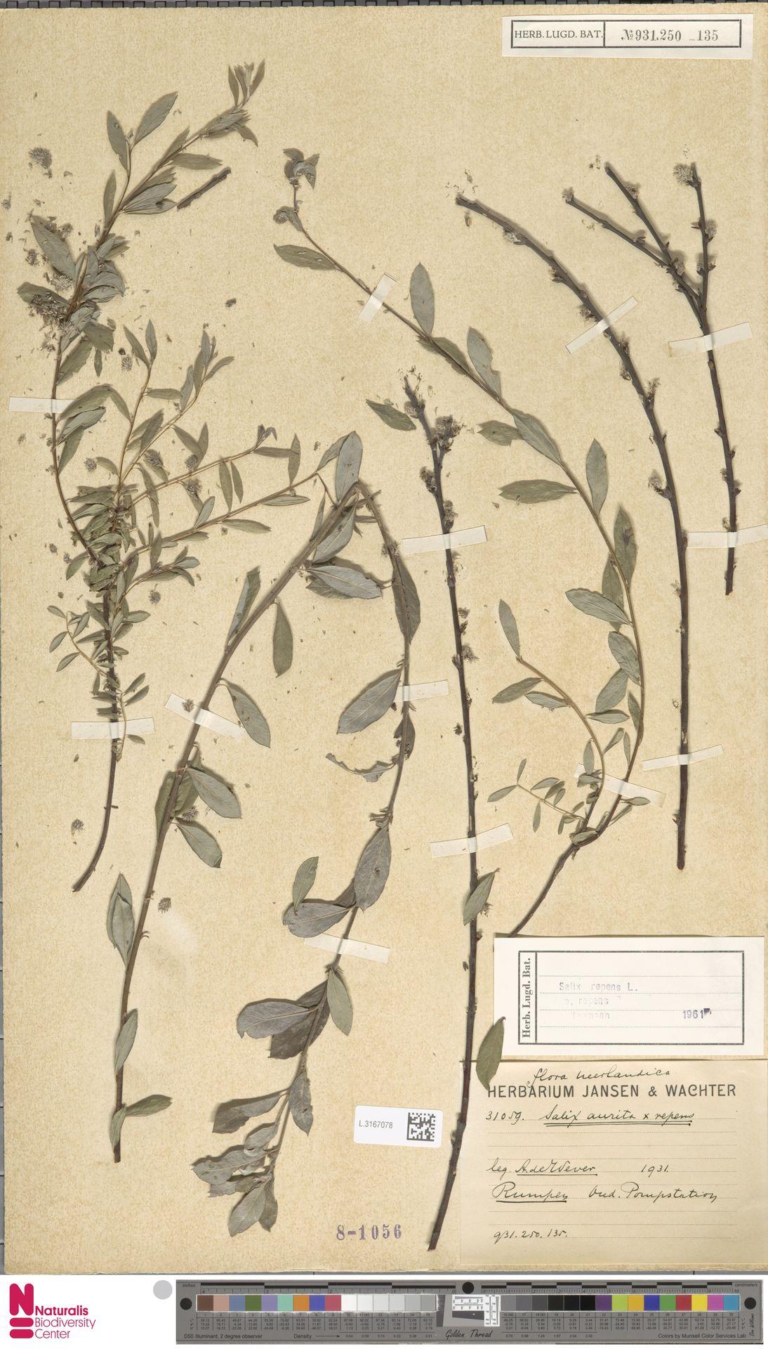 L.3167078 | Salix repens subsp. repens