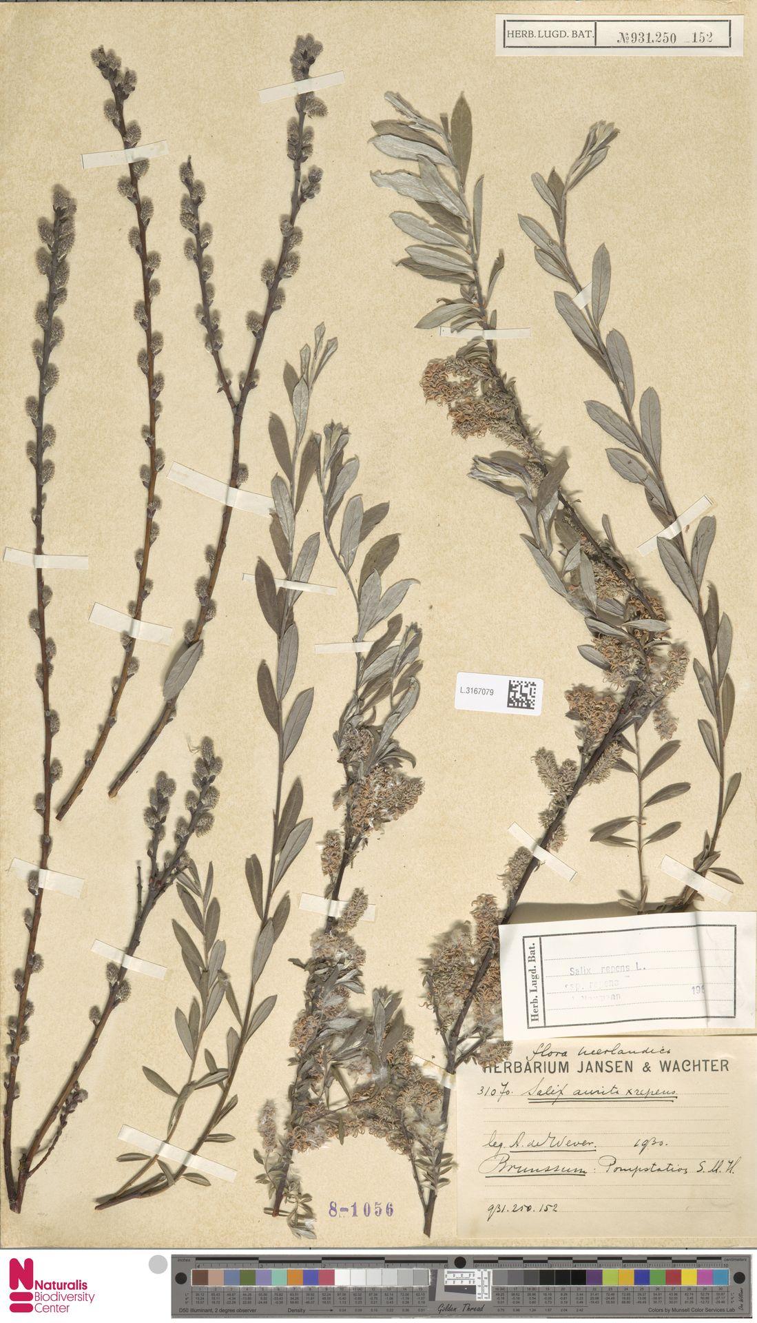L.3167079 | Salix repens subsp. repens