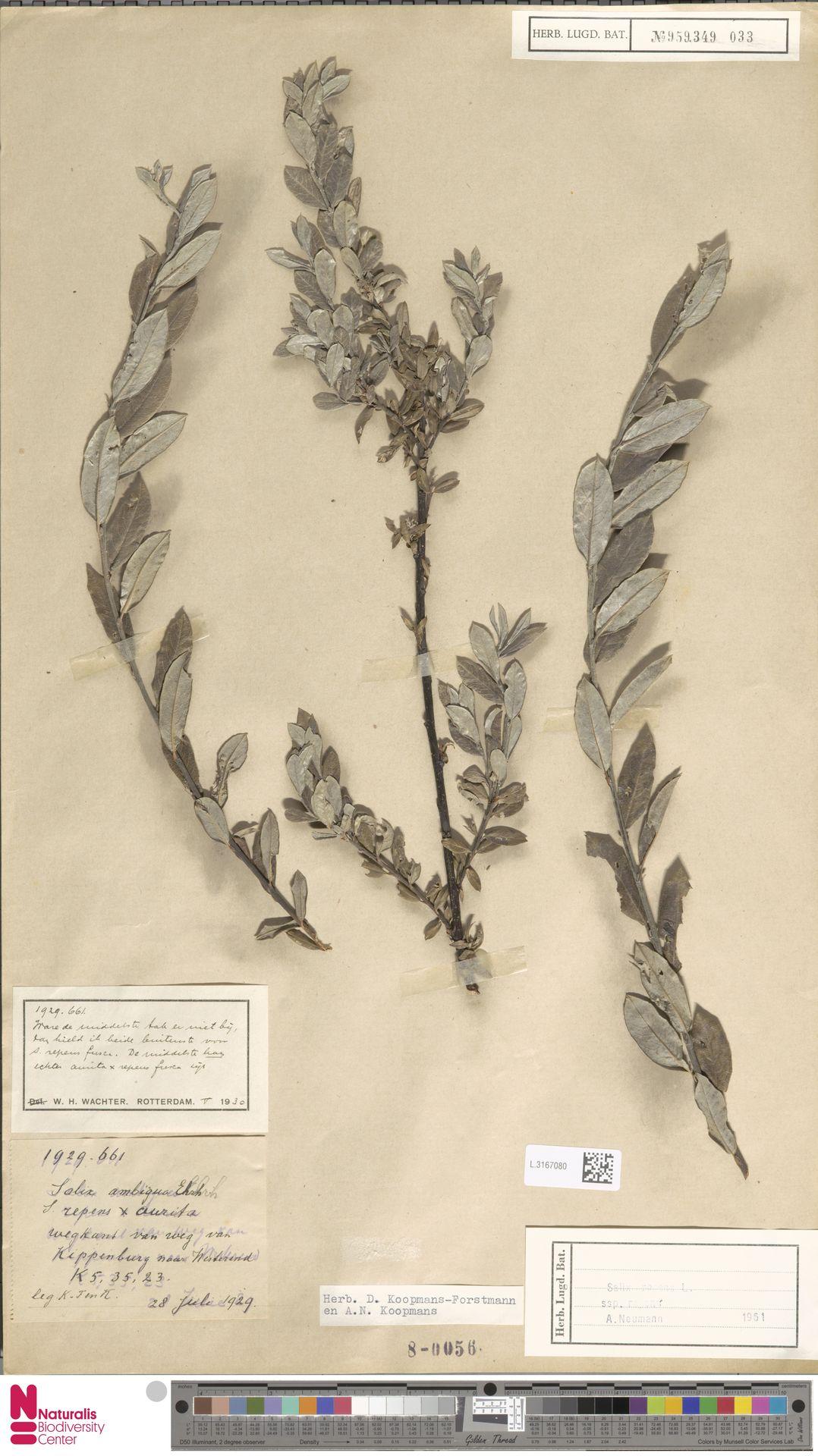 L.3167080 | Salix repens subsp. repens
