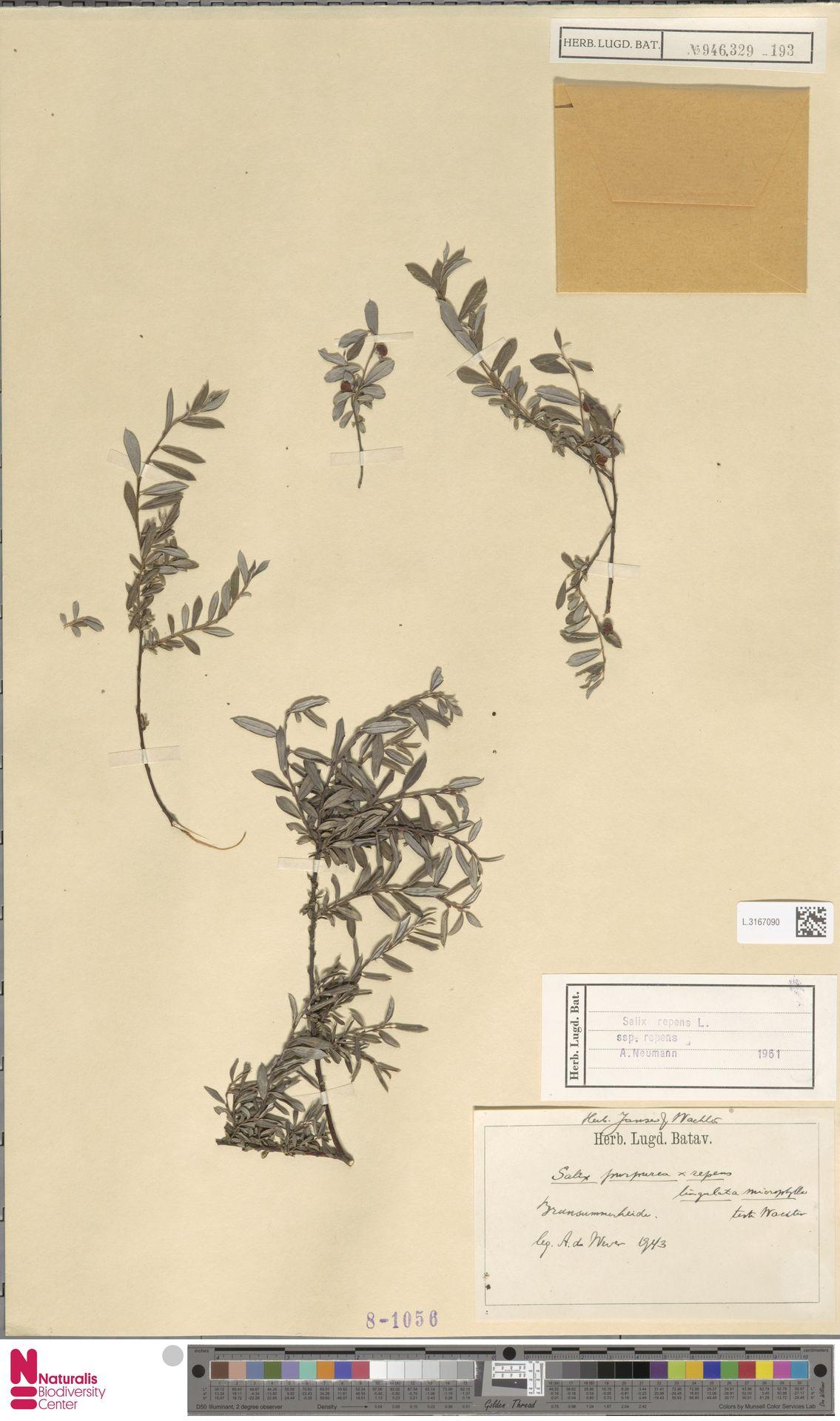 L.3167090   Salix repens subsp. repens