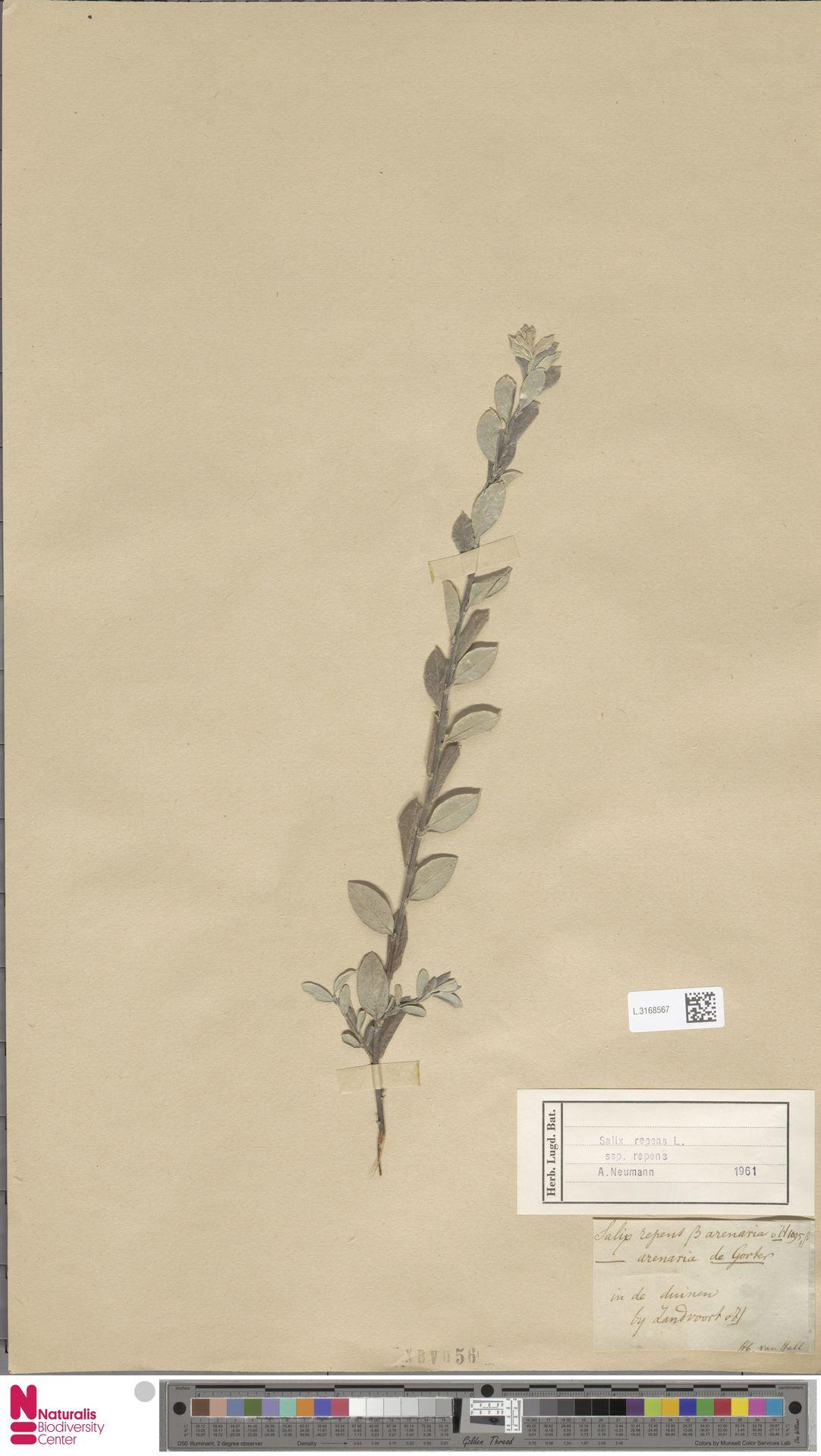 L.3168567 | Salix repens subsp. repens