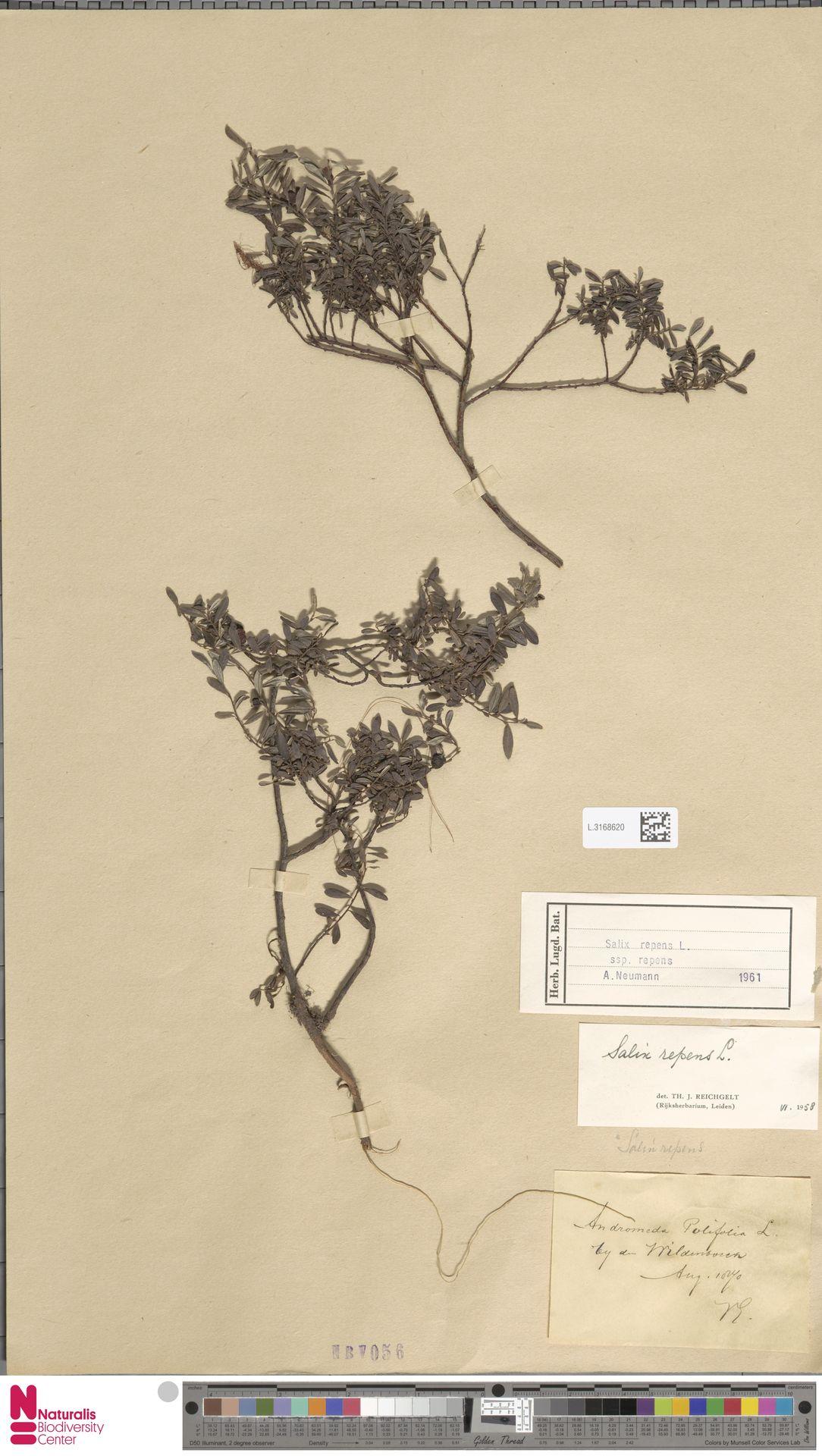 L.3168620 | Salix repens subsp. repens