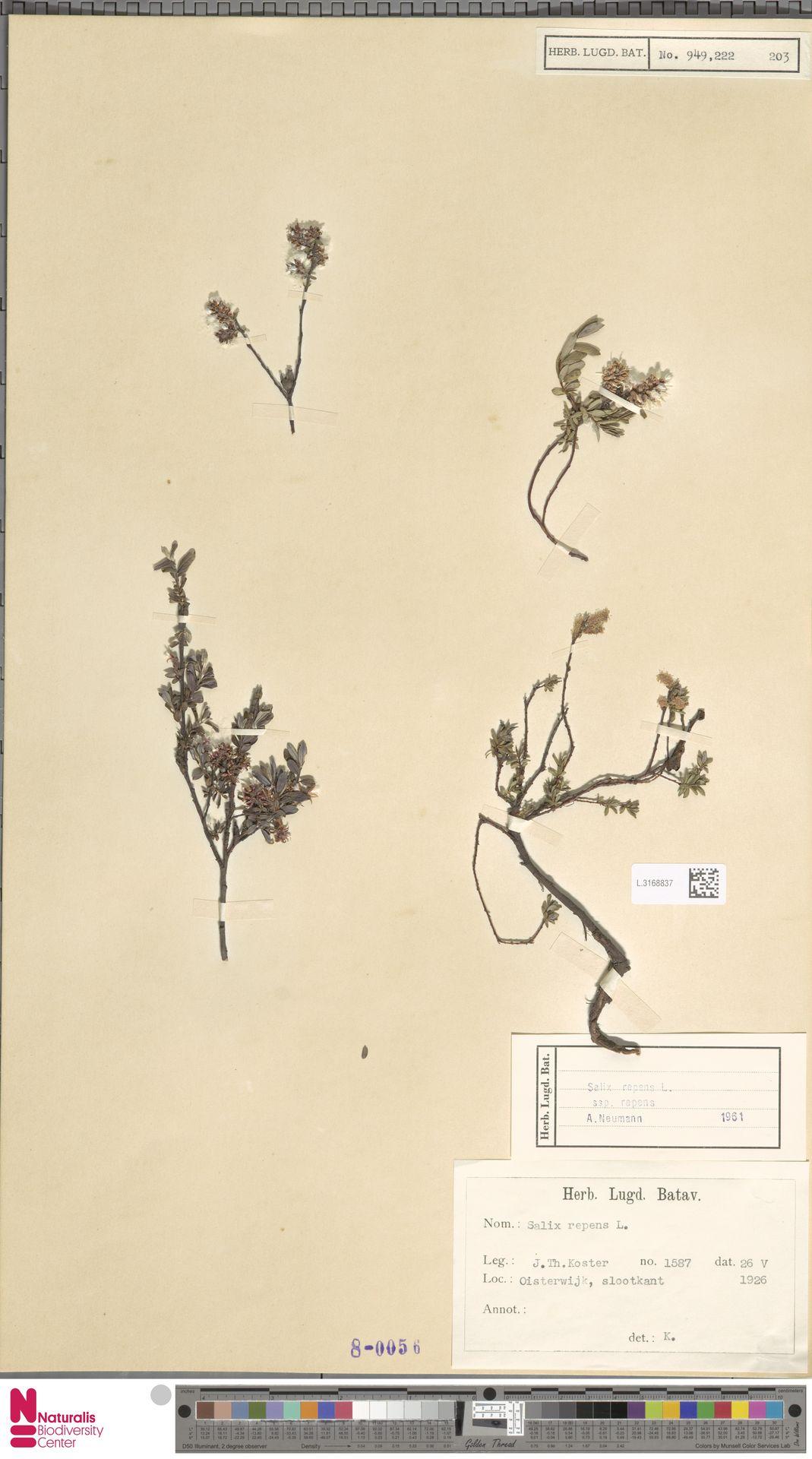 L.3168837 | Salix repens subsp. repens