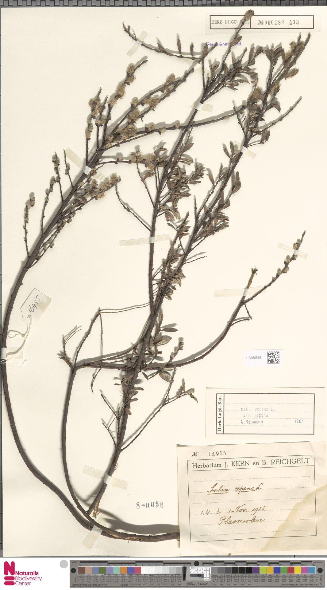 L.3168879 | Salix repens subsp. repens