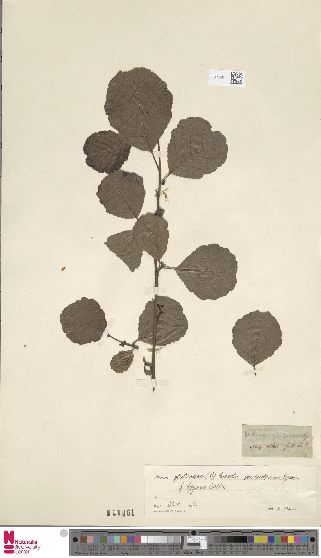 L.3173841 | Alnus glutinosa (L.) Gaertn.