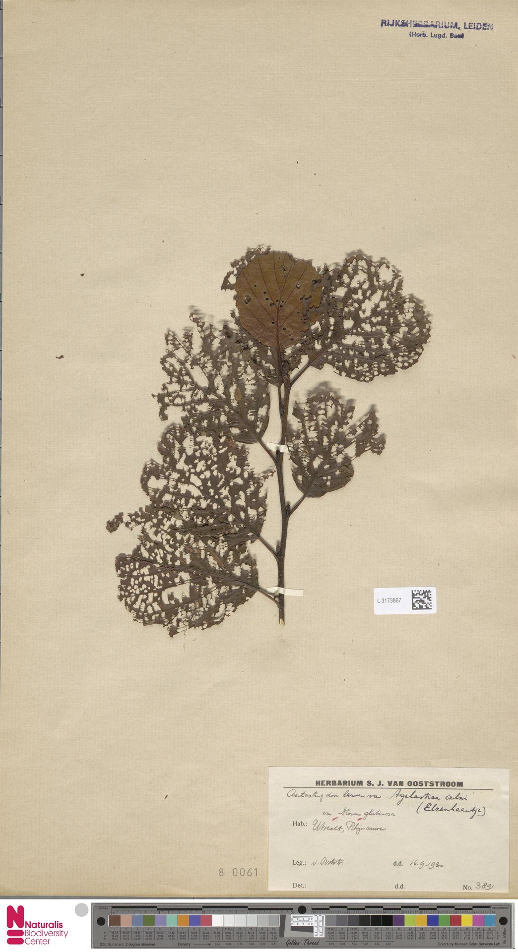 L.3173867 | Alnus glutinosa (L.) Gaertn.