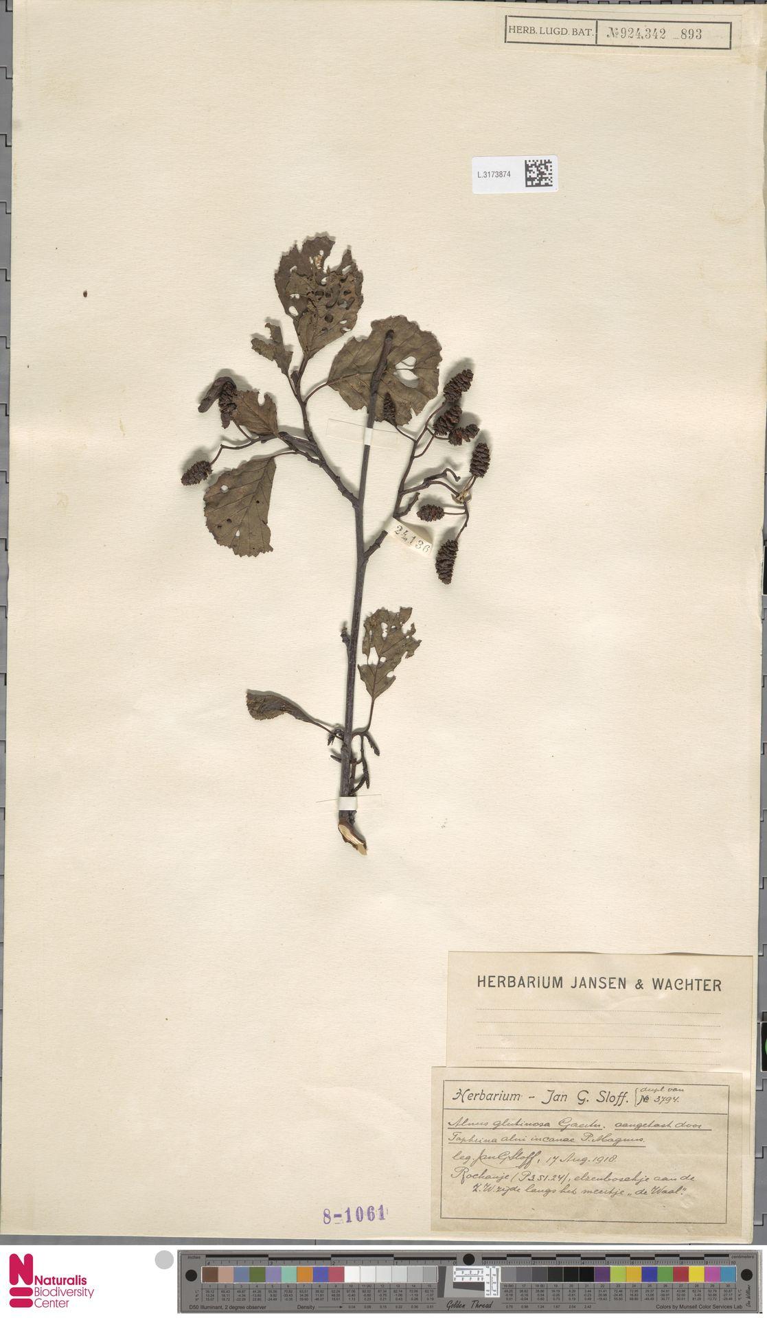 L.3173874 | Alnus glutinosa (L.) Gaertn.