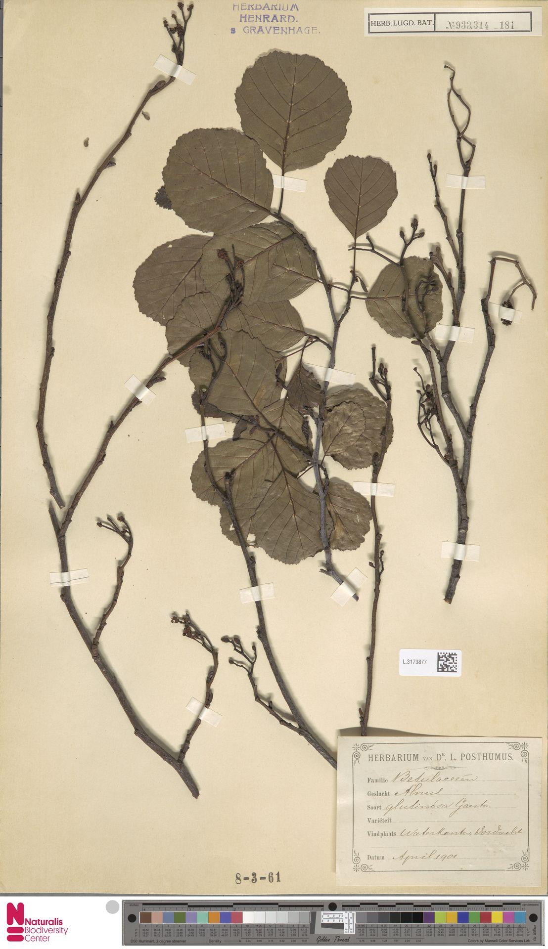 L.3173877 | Alnus glutinosa (L.) Gaertn.