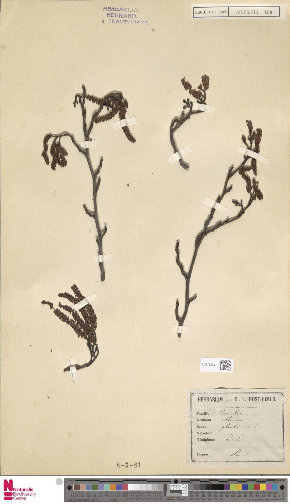 L.3173878 | Alnus glutinosa (L.) Gaertn.