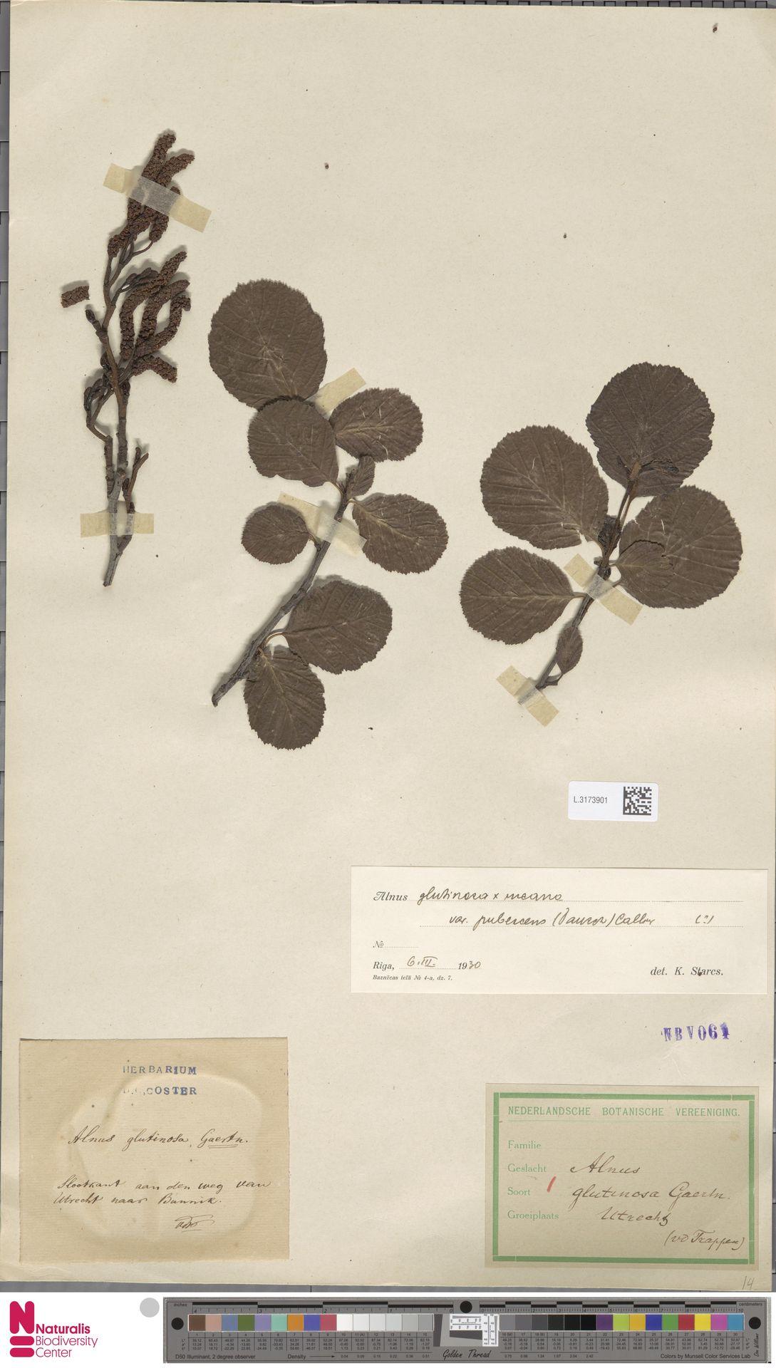L.3173901 | Alnus glutinosa (L.) Gaertn.