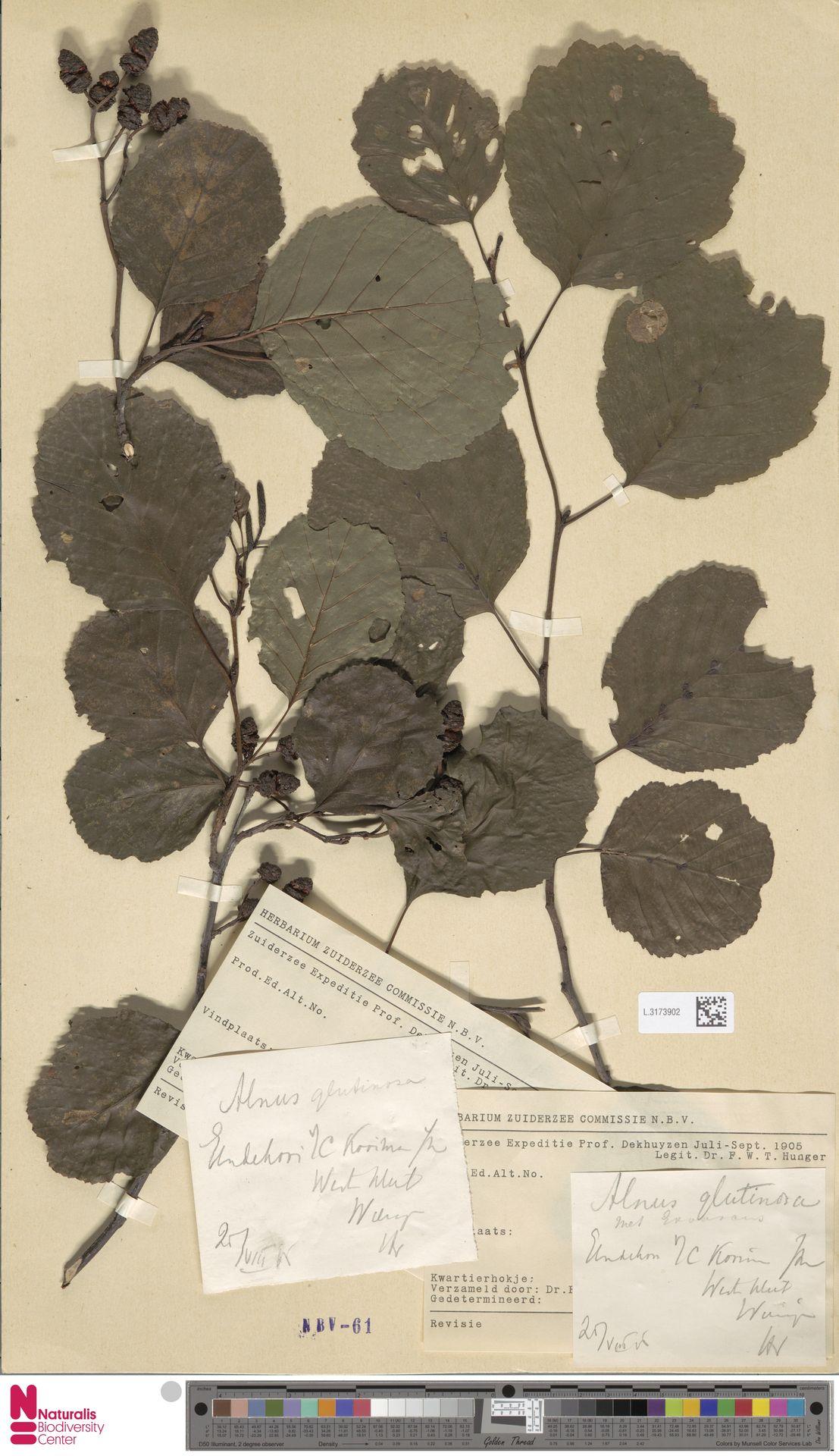 L.3173902 | Alnus glutinosa (L.) Gaertn.