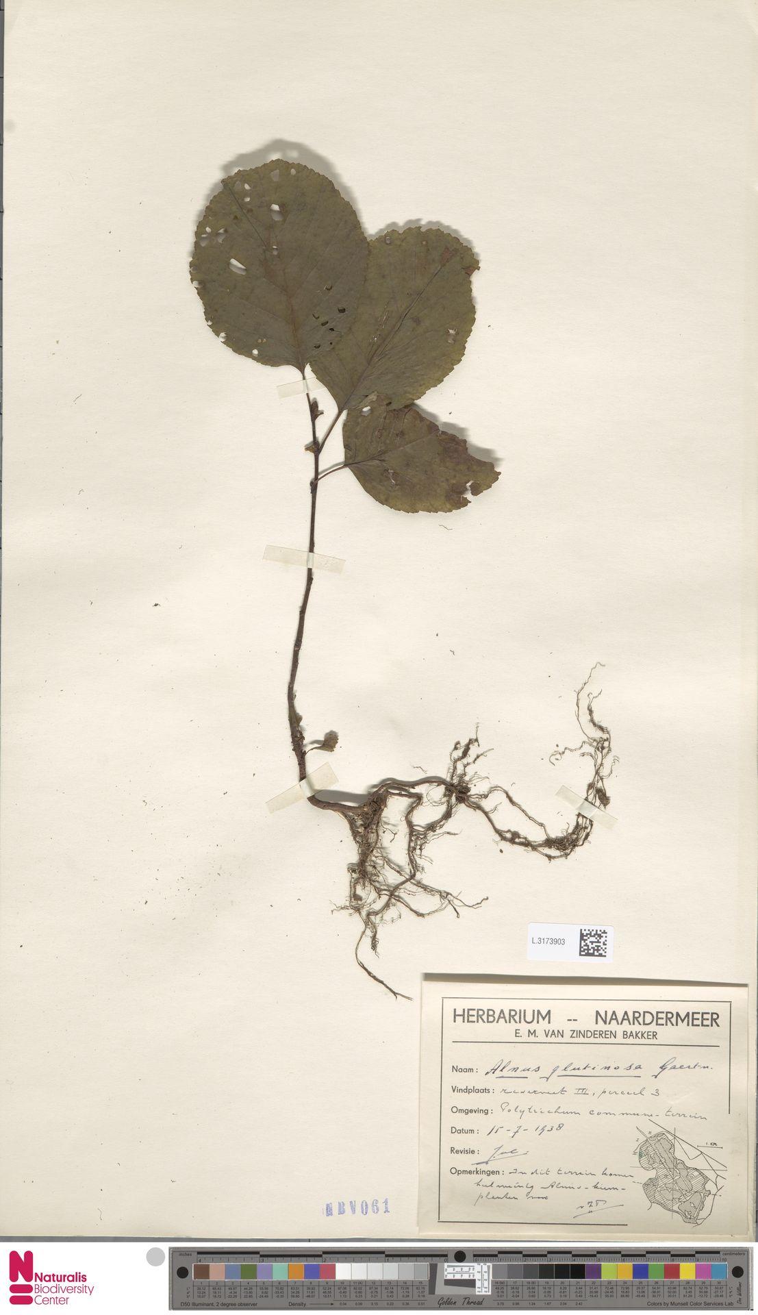 L.3173903 | Alnus glutinosa (L.) Gaertn.