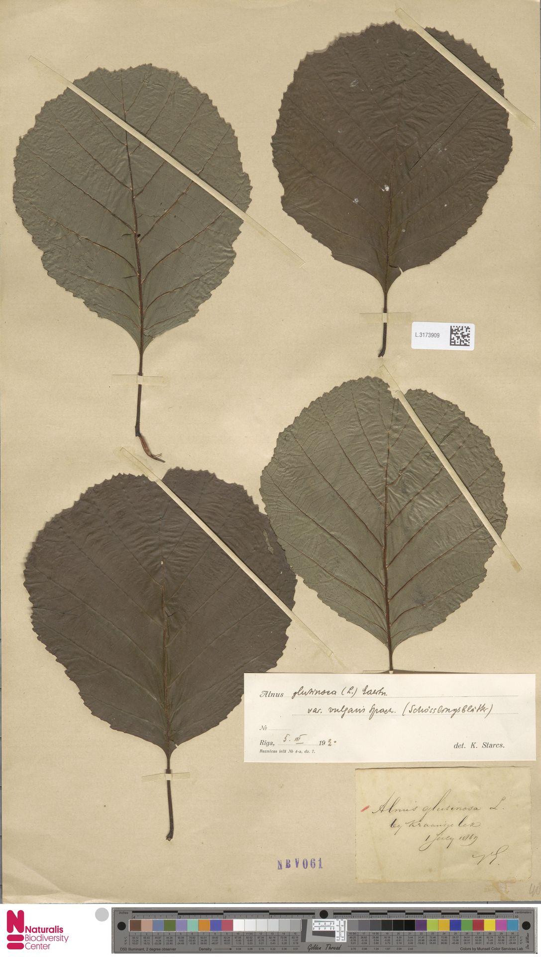 L.3173909 | Alnus glutinosa (L.) Gaertn.