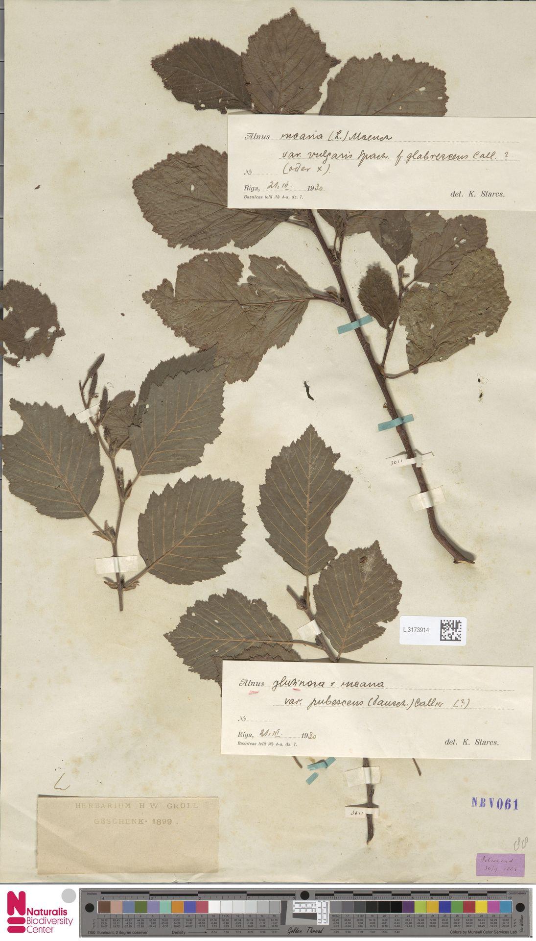 L.3173914 | Alnus glutinosa (L.) Gaertn.