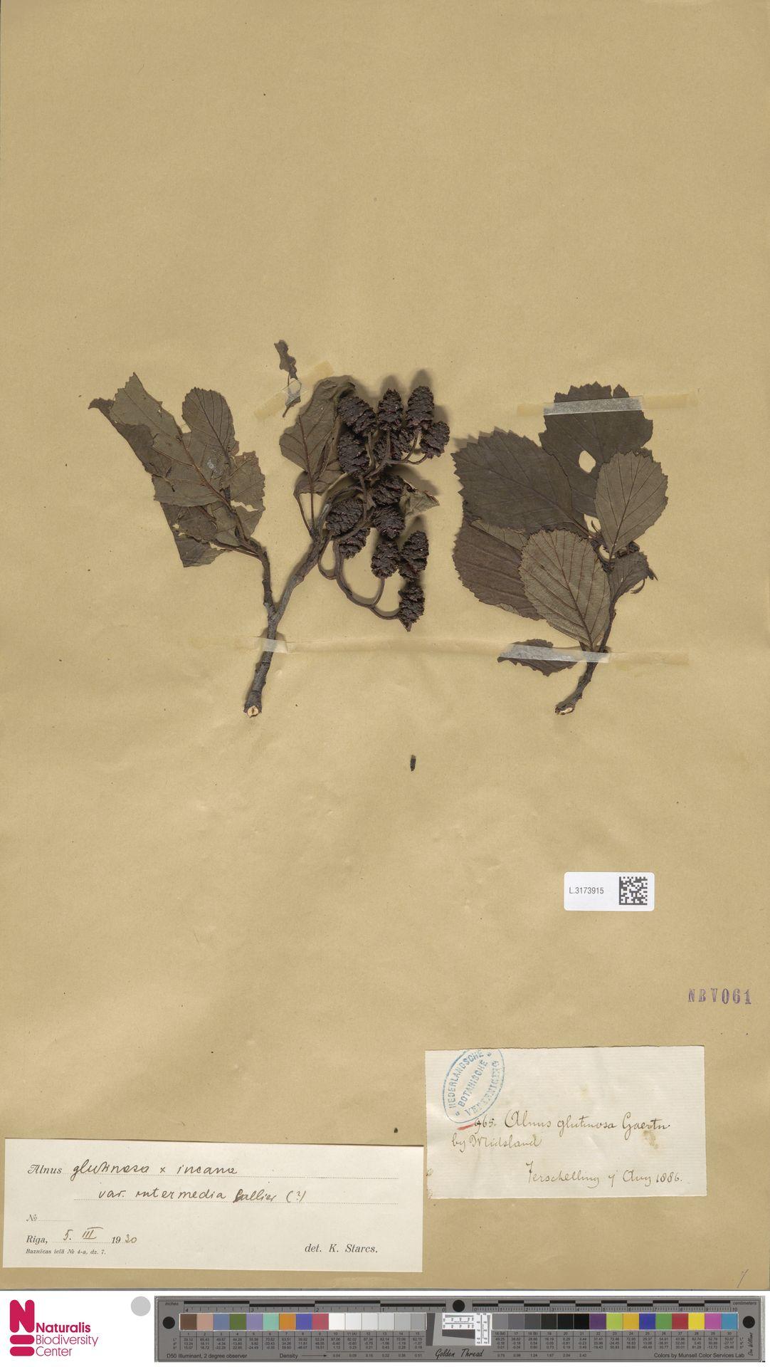 L.3173915 | Alnus glutinosa (L.) Gaertn.