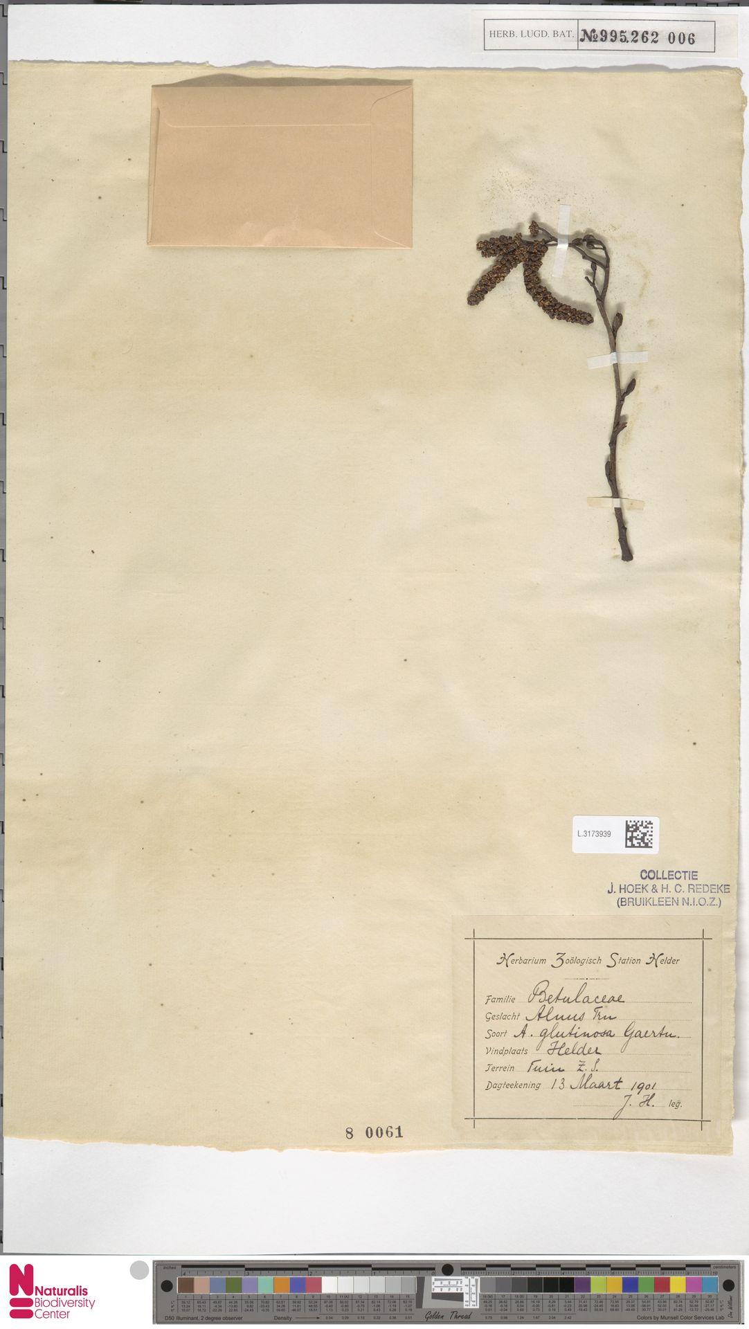 L.3173939 | Alnus glutinosa (L.) Gaertn.