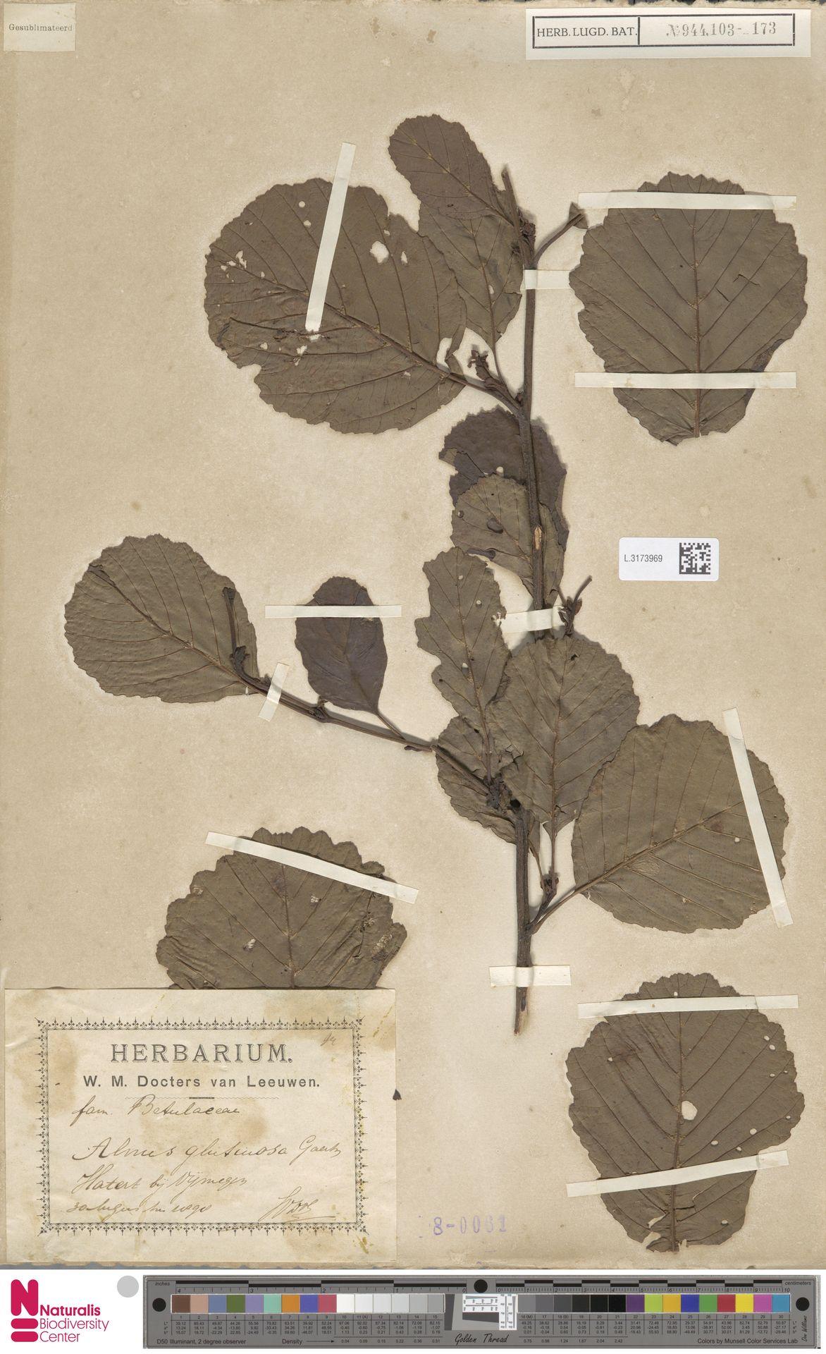 L.3173969 | Alnus glutinosa (L.) Gaertn.