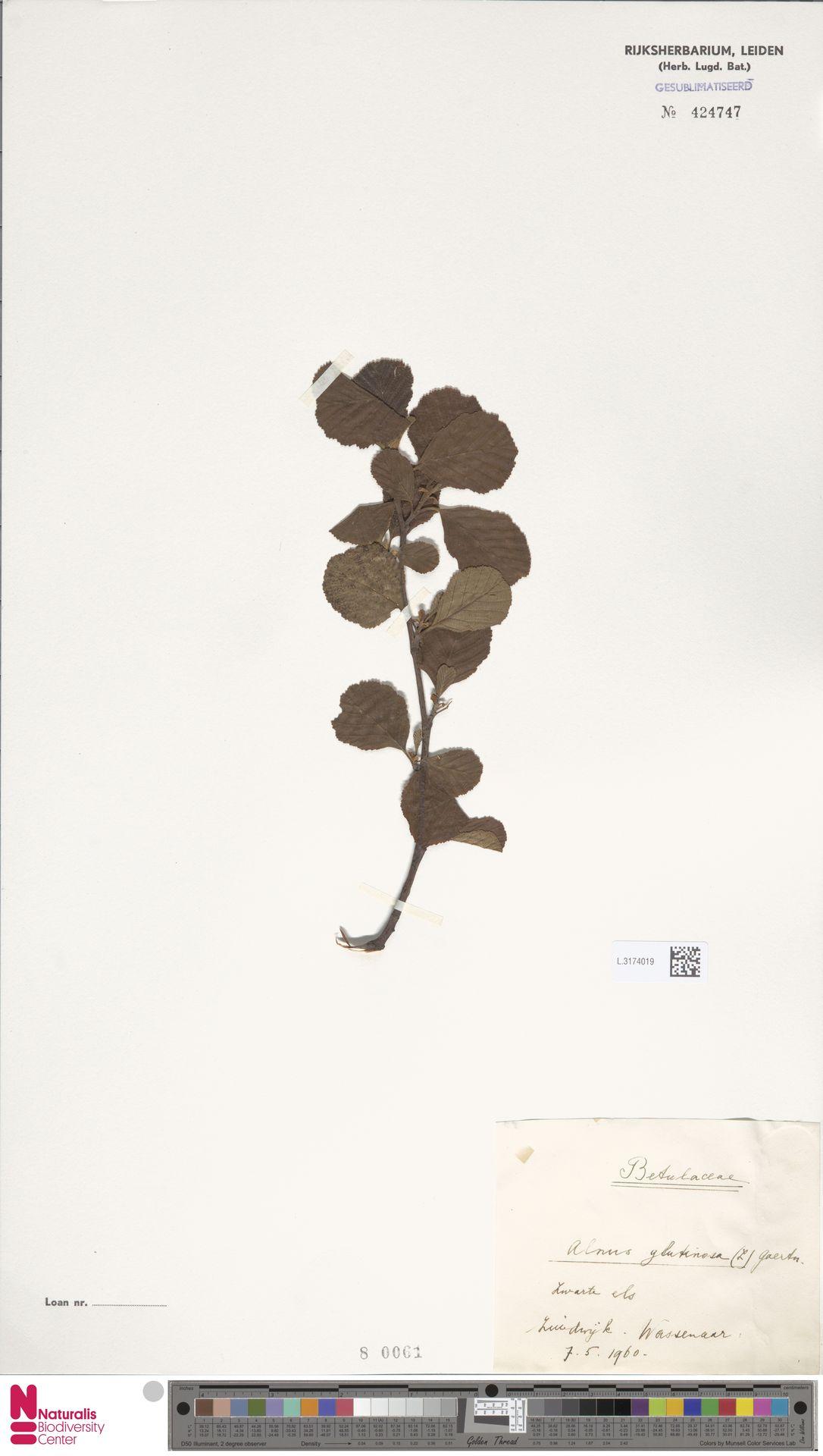 L.3174019 | Alnus glutinosa (L.) Gaertn.