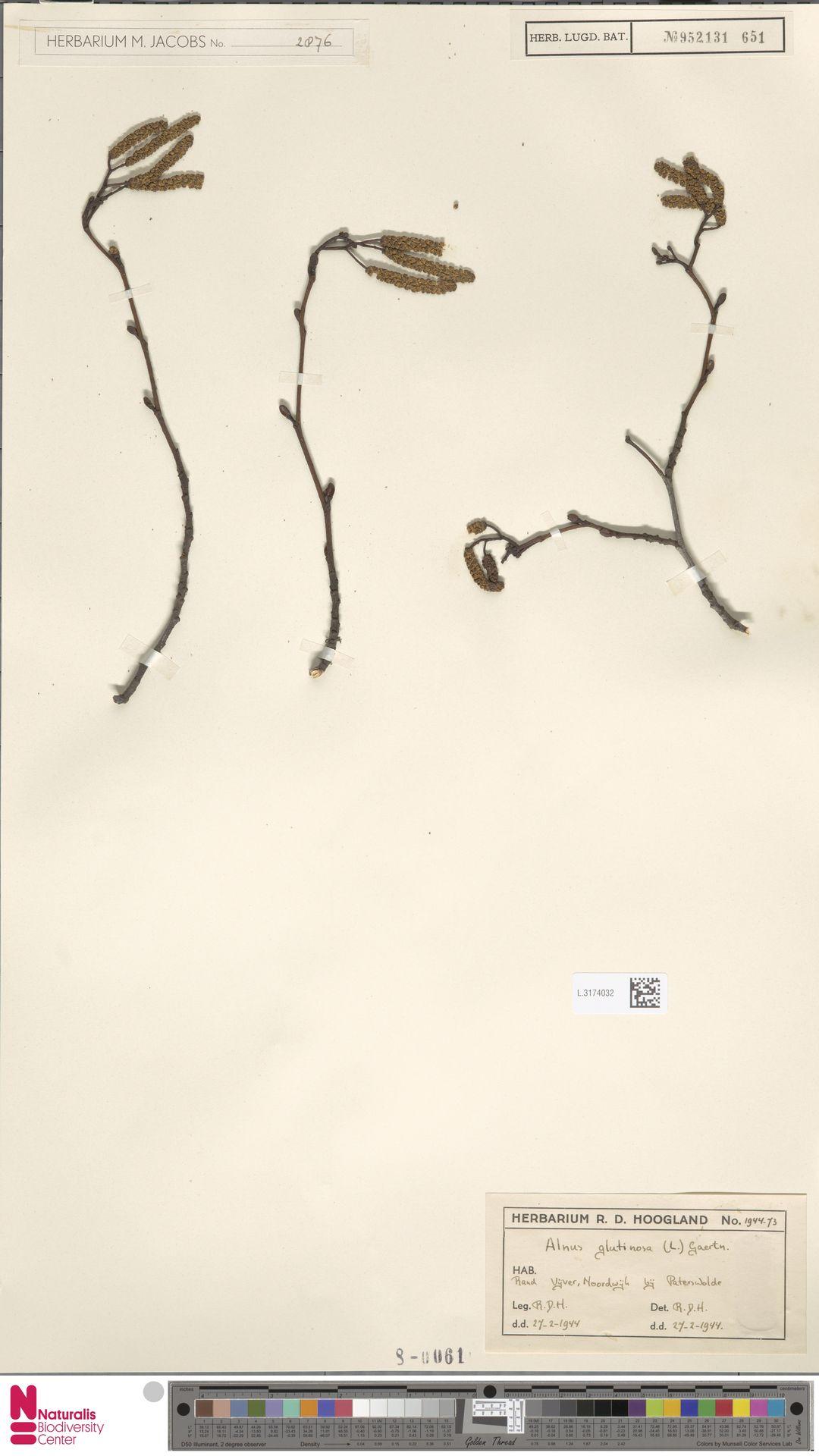 L.3174032 | Alnus glutinosa (L.) Gaertn.