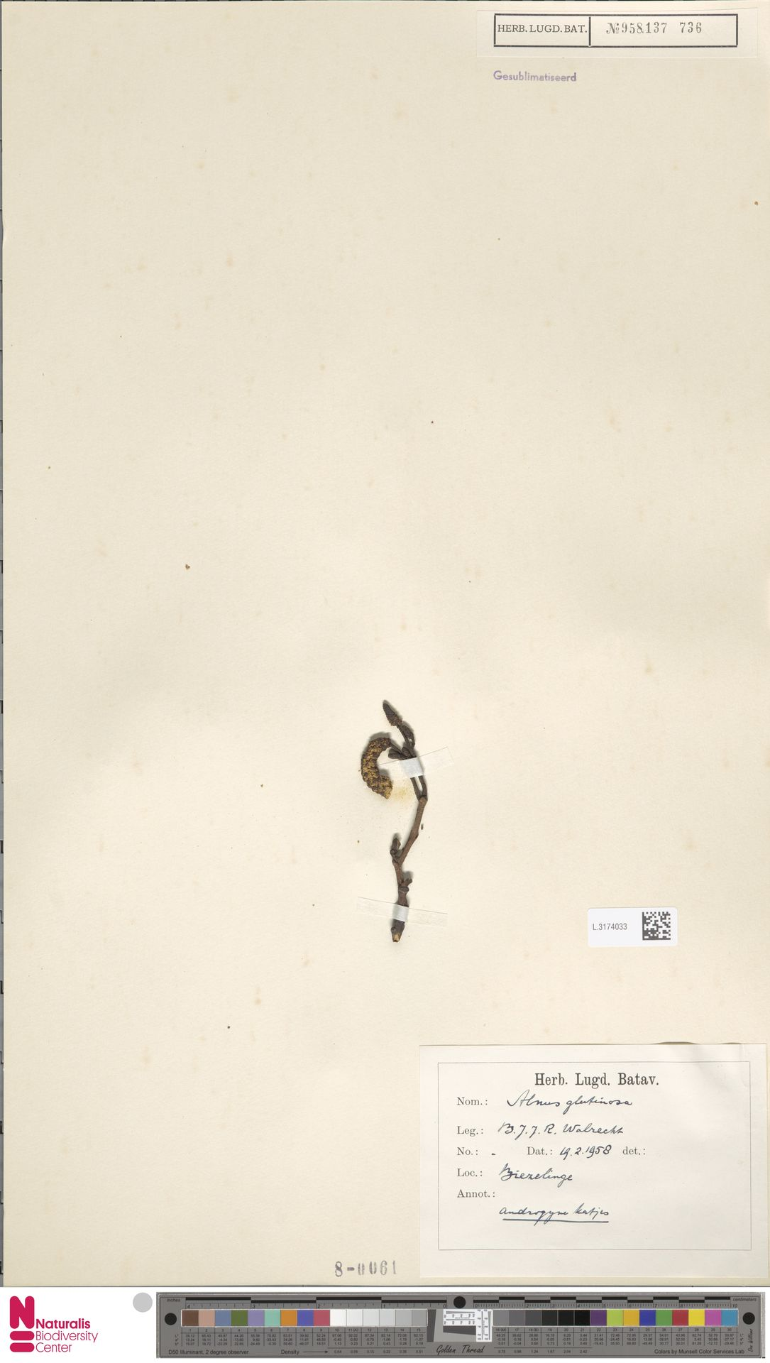 L.3174033 | Alnus glutinosa (L.) Gaertn.