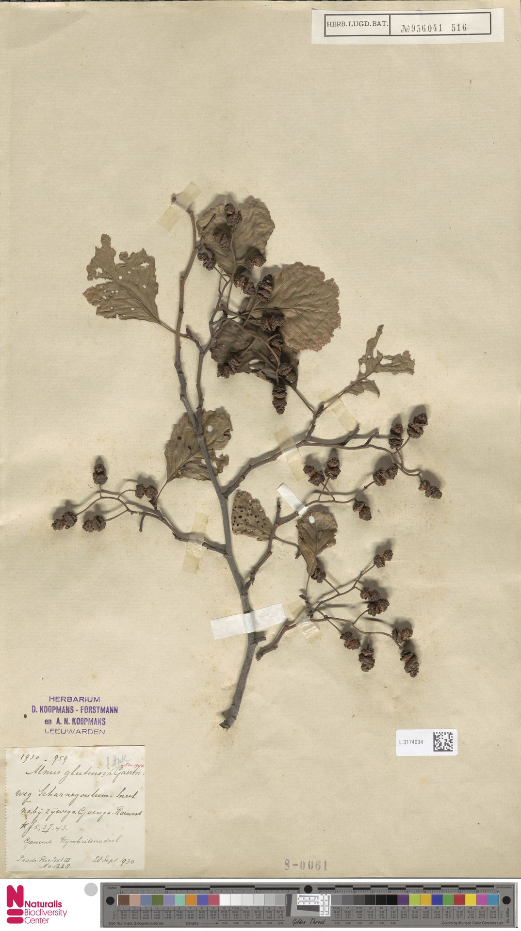 L.3174034 | Alnus glutinosa (L.) Gaertn.