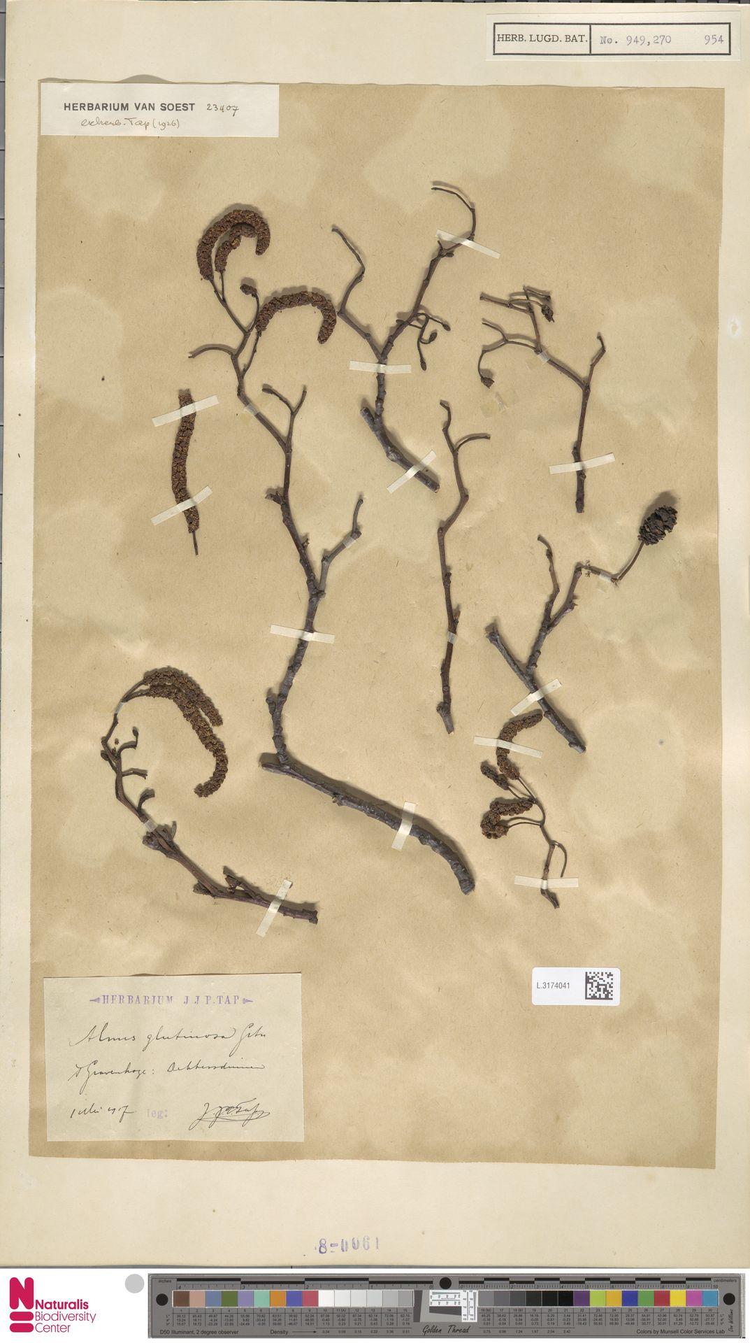 L.3174041 | Alnus glutinosa (L.) Gaertn.