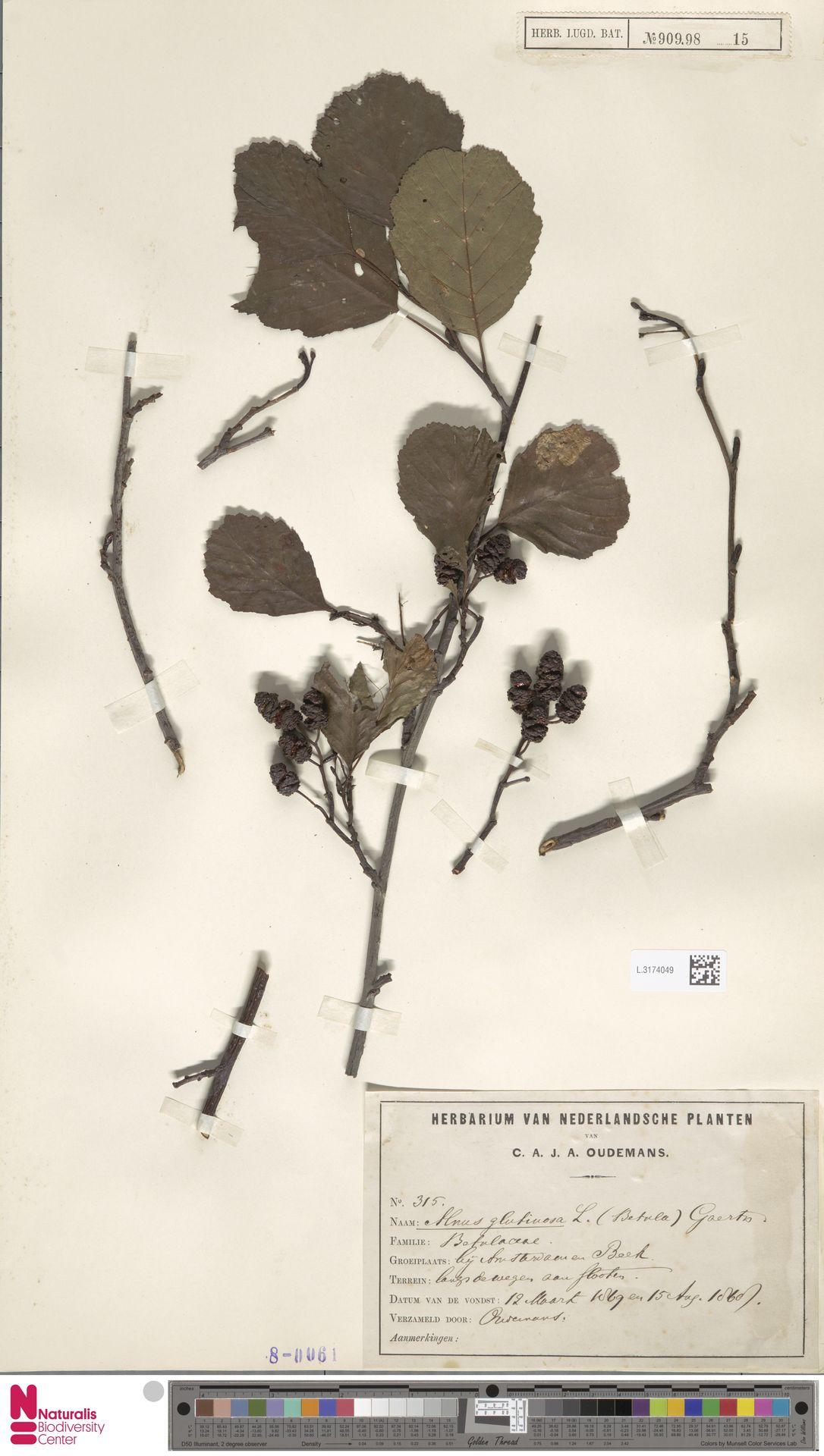 L.3174049 | Alnus glutinosa (L.) Gaertn.