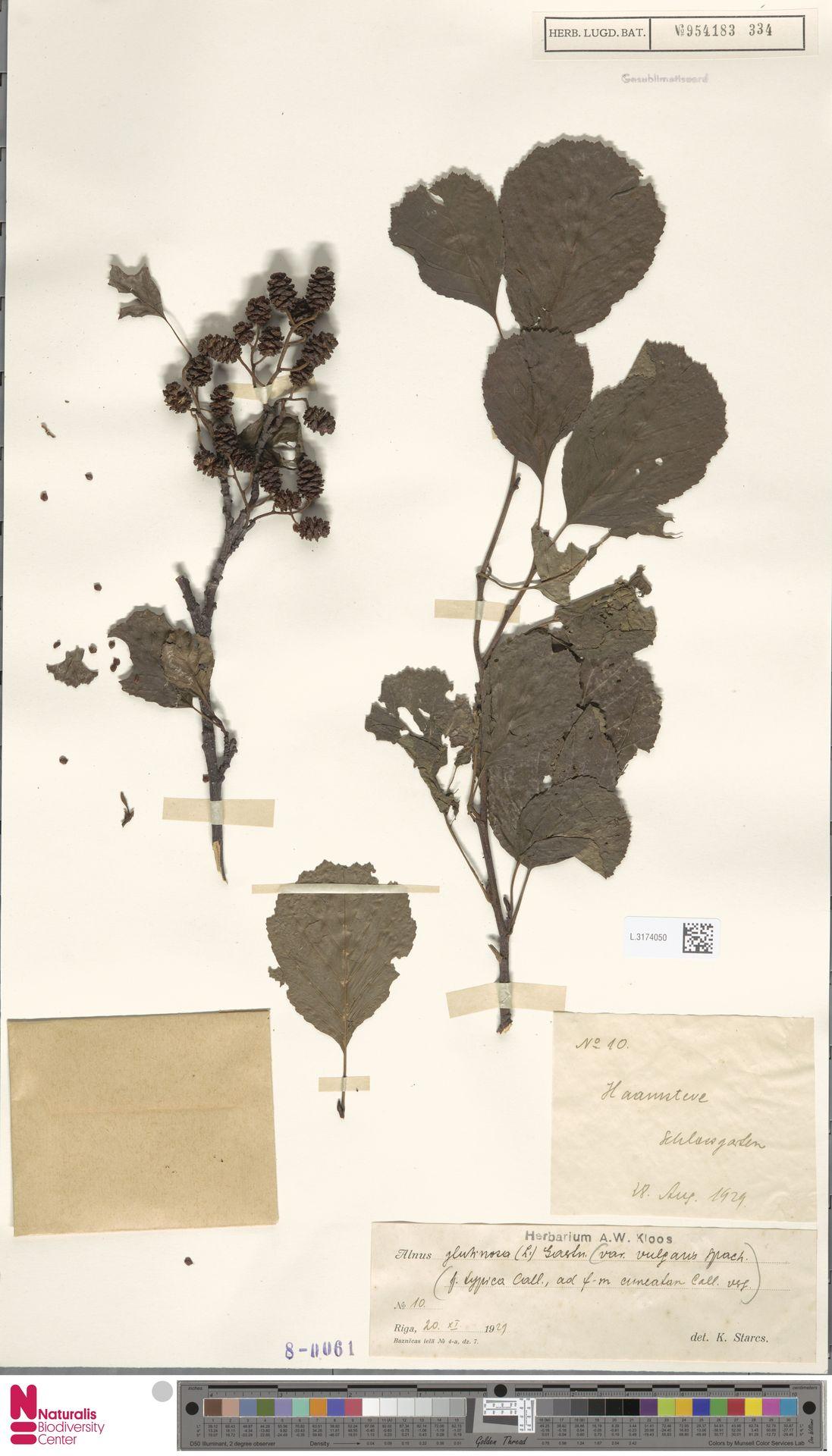 L.3174050   Alnus glutinosa (L.) Gaertn.