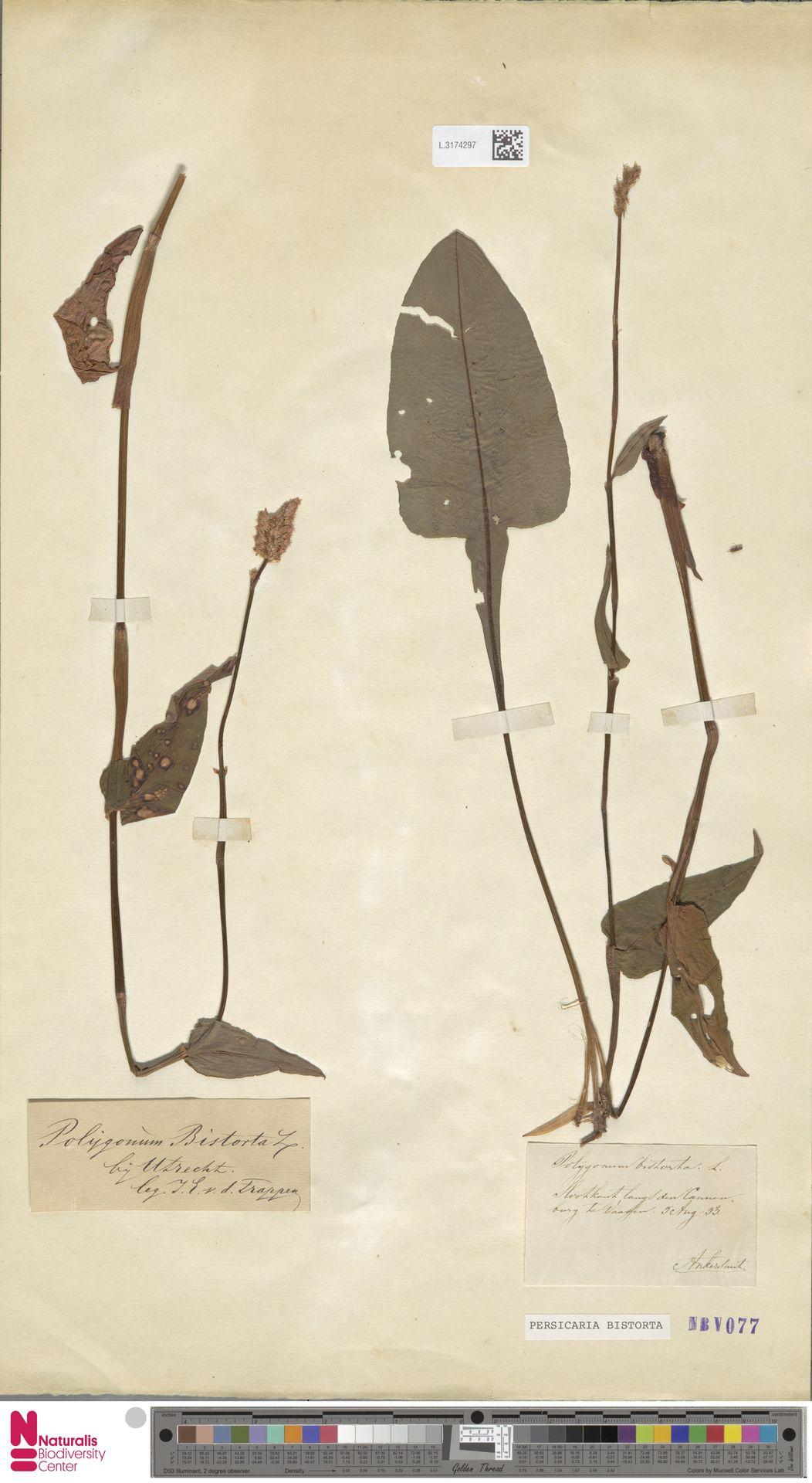 L.3174297 | Persicaria bistorta (L.) Samp.