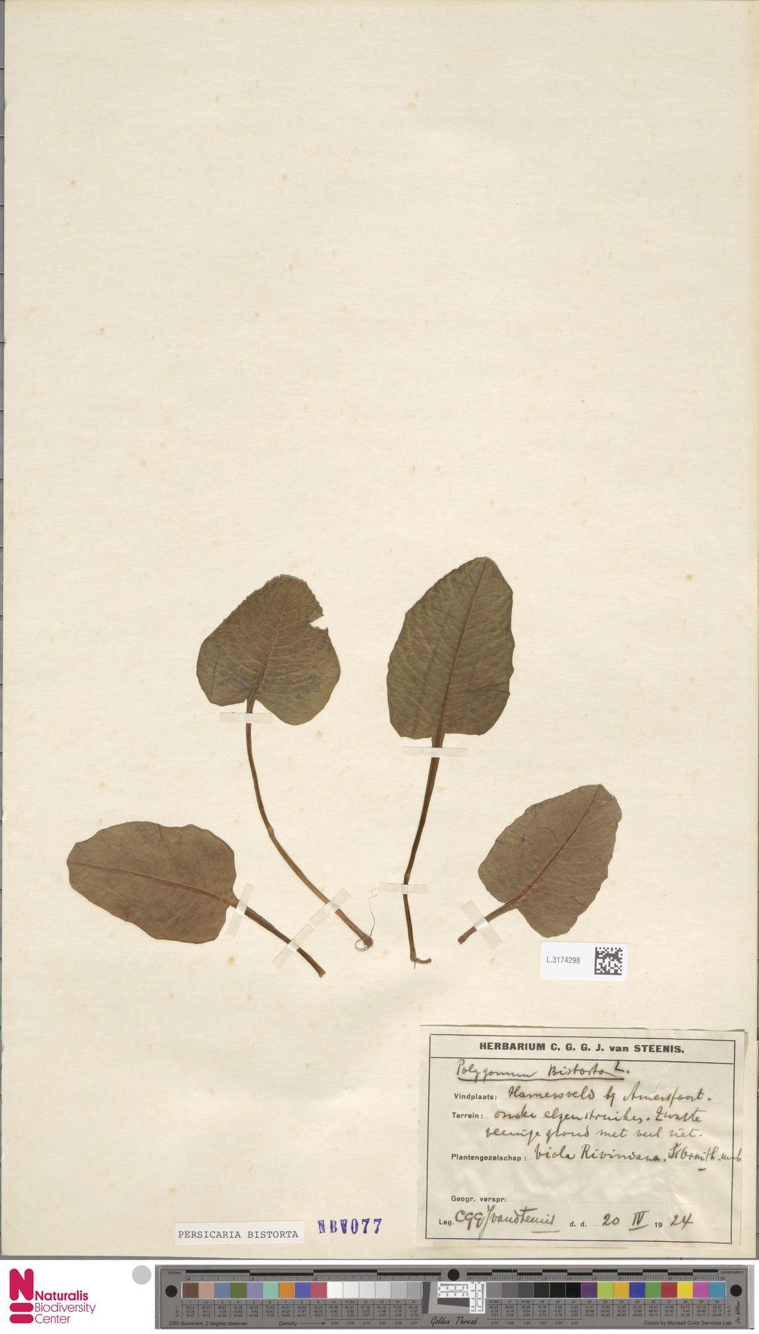 L.3174298 | Persicaria bistorta (L.) Samp.