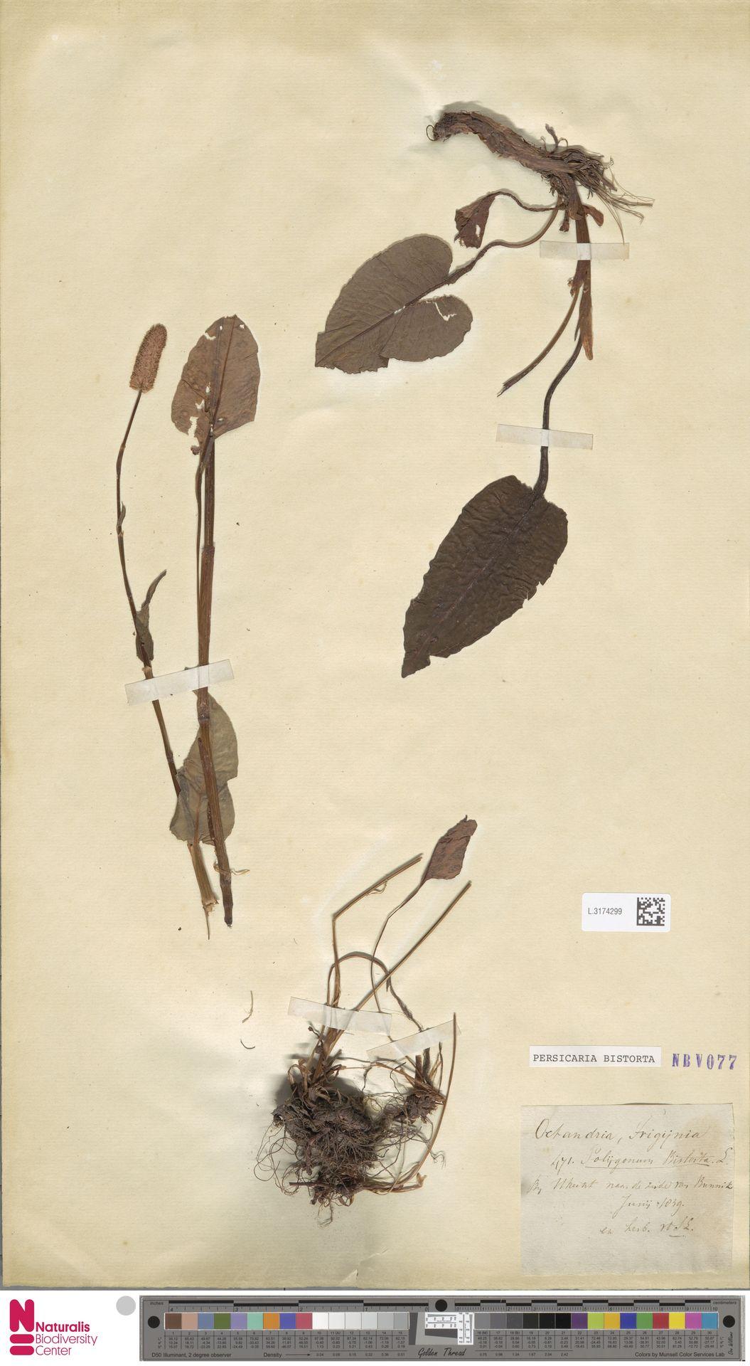 L.3174299 | Persicaria bistorta (L.) Samp.