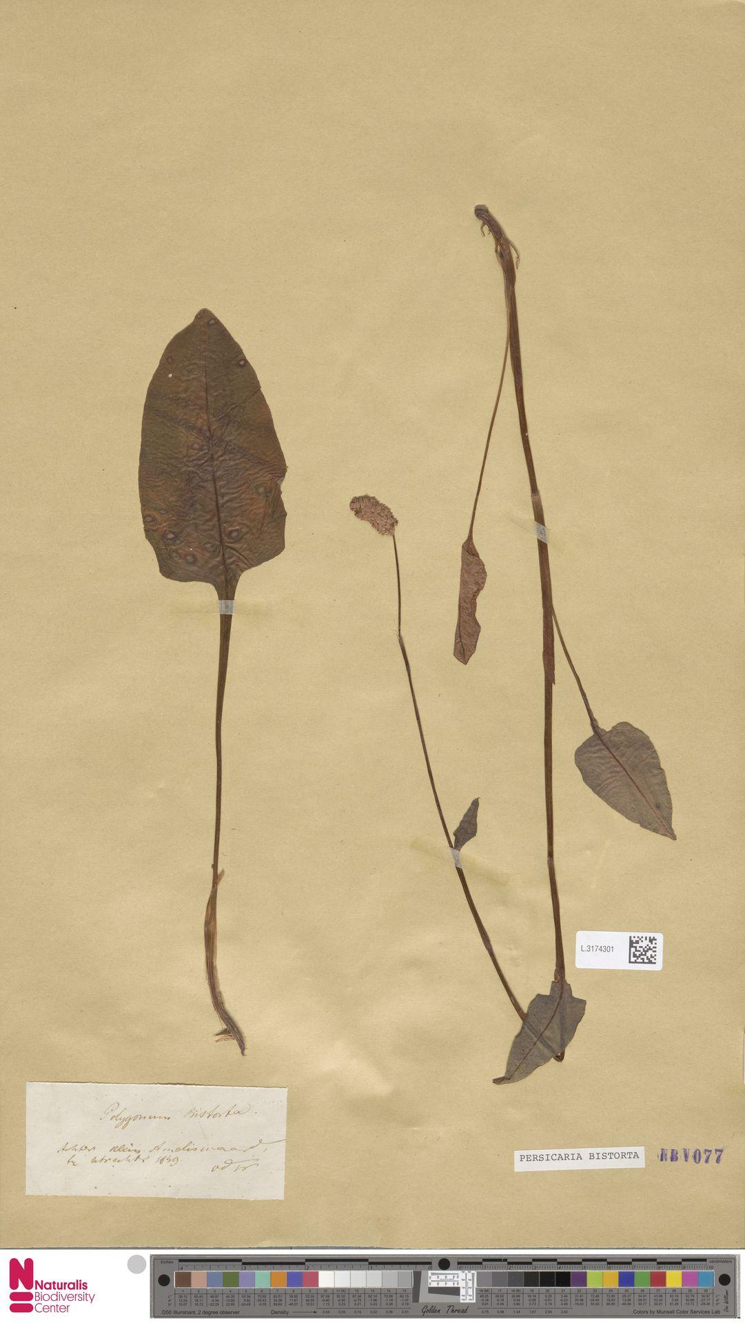 L.3174301 | Persicaria bistorta (L.) Samp.