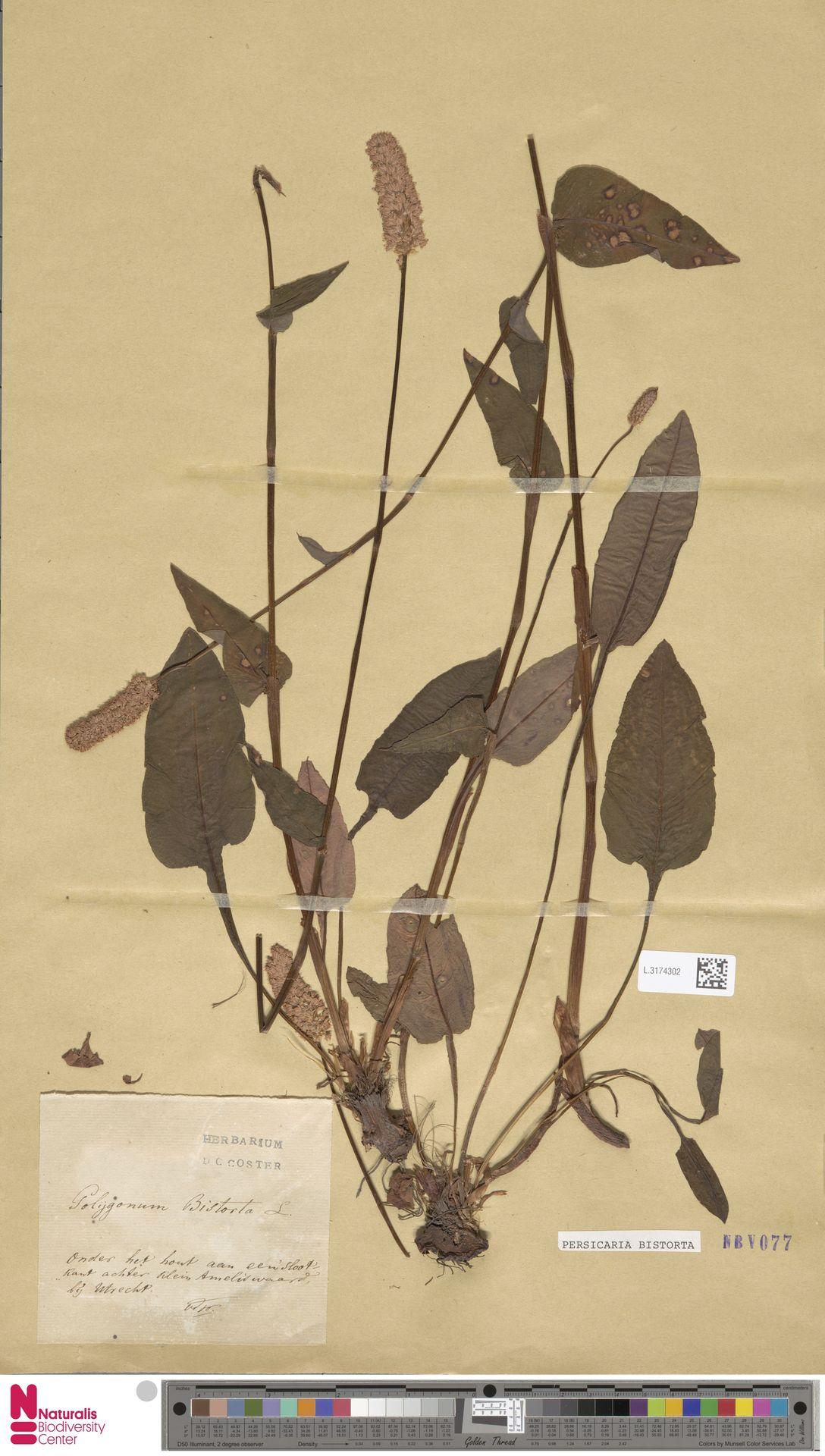 L.3174302   Persicaria bistorta (L.) Samp.