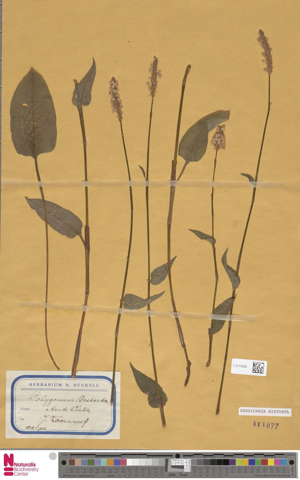 L.3174303 | Persicaria bistorta (L.) Samp.